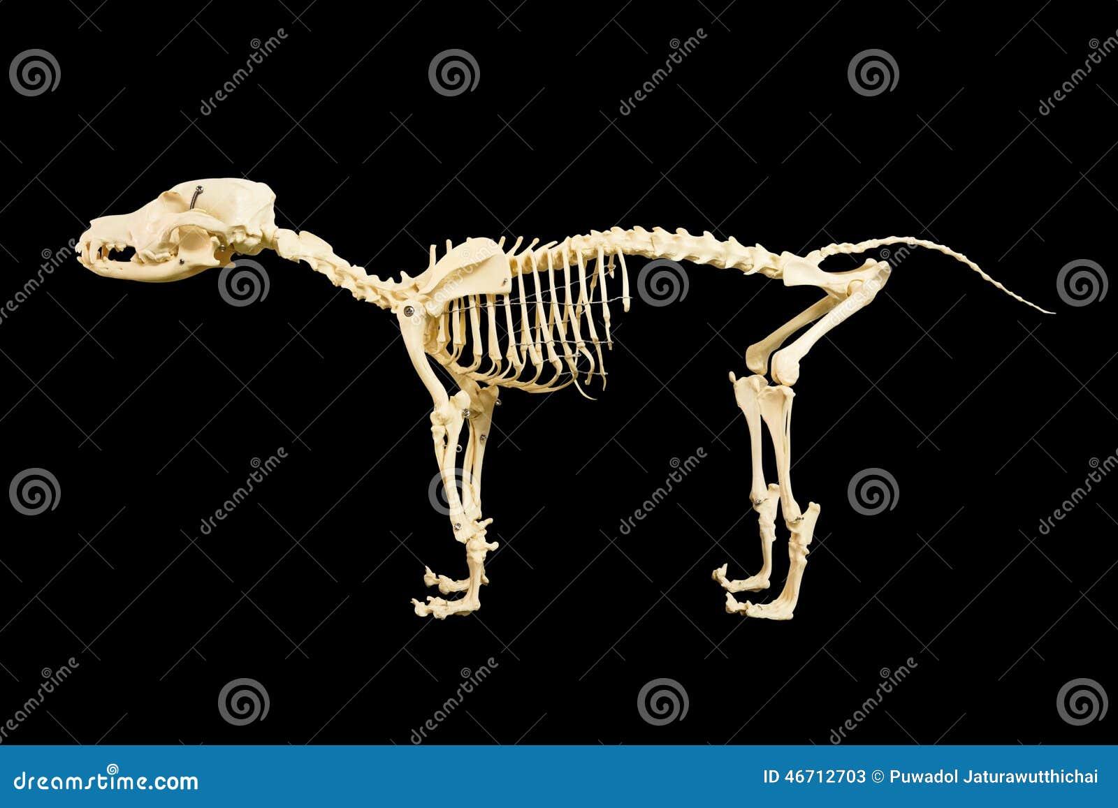 Modelo Del Esqueleto Del Perro Imagen de archivo - Imagen de perro ...