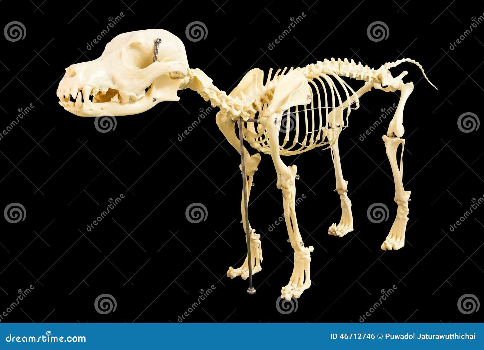 Esqueleto del perro stock de ilustración. Ilustración de aislado ...