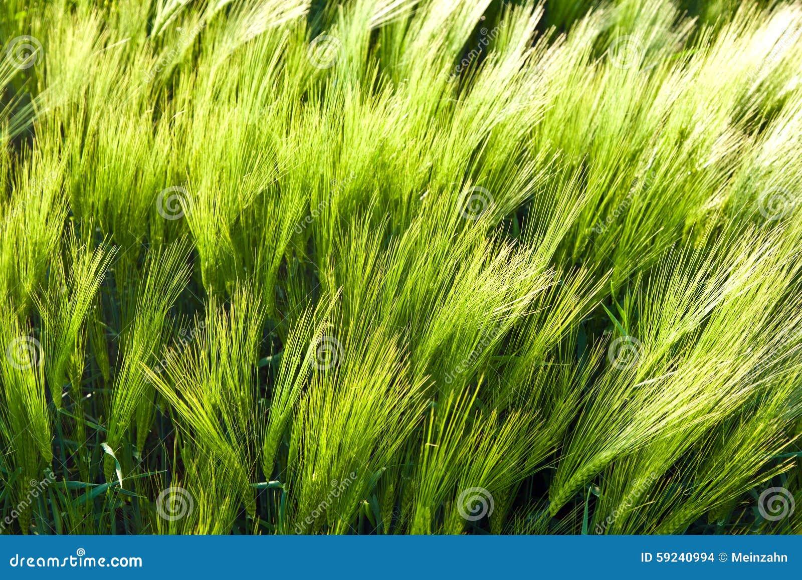 Modelo del maíz verde