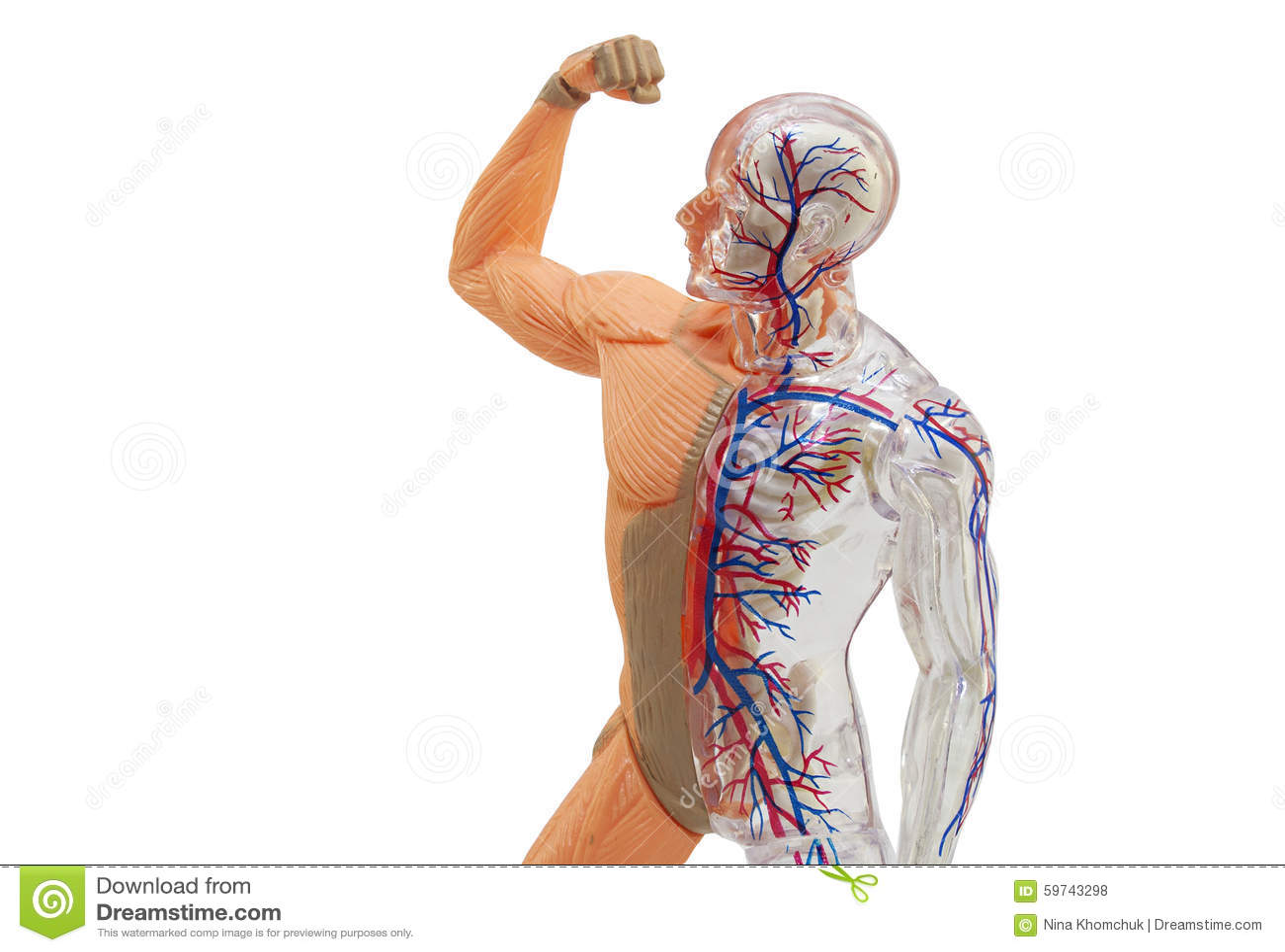 Modelo Humano Aislado De La Anatomía Foto de archivo - Imagen de ...