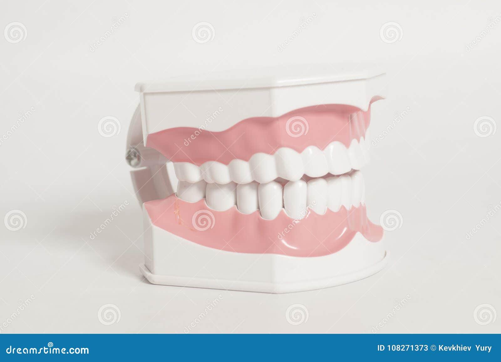Modelo Humano Dental De Los Dientes Imagen de archivo - Imagen de ...