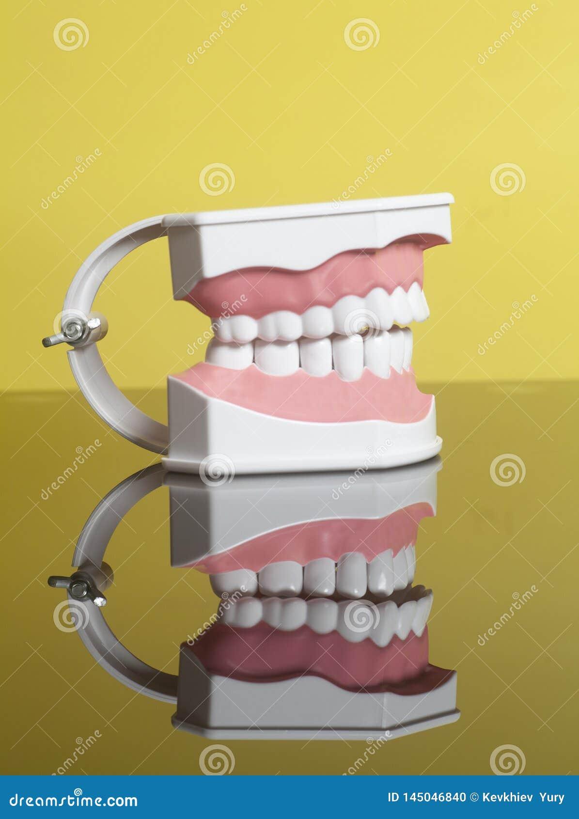Modelo humano dental de los dientes