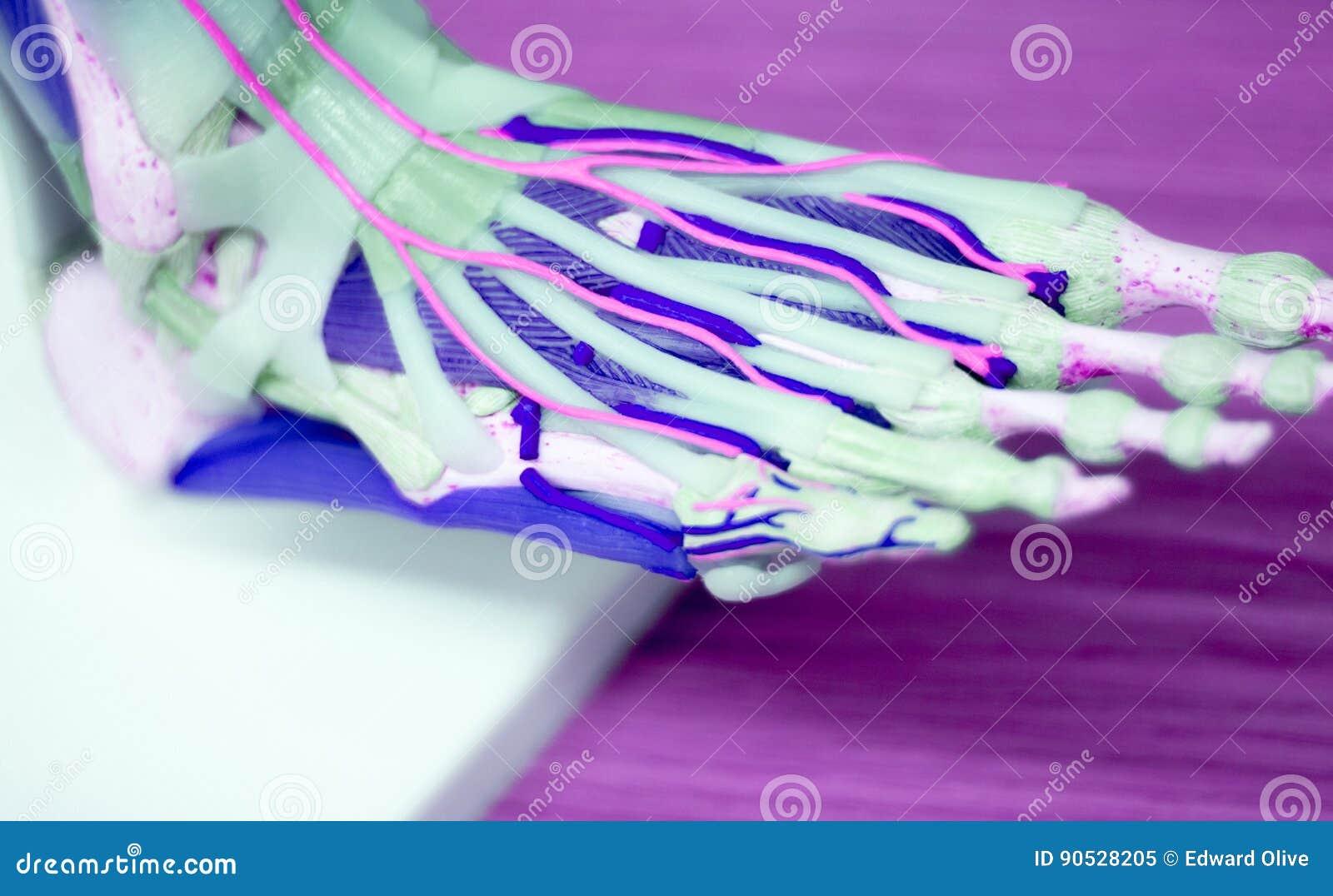 Modelo Médico De La Anatomía Del Pie Imagen de archivo - Imagen de ...