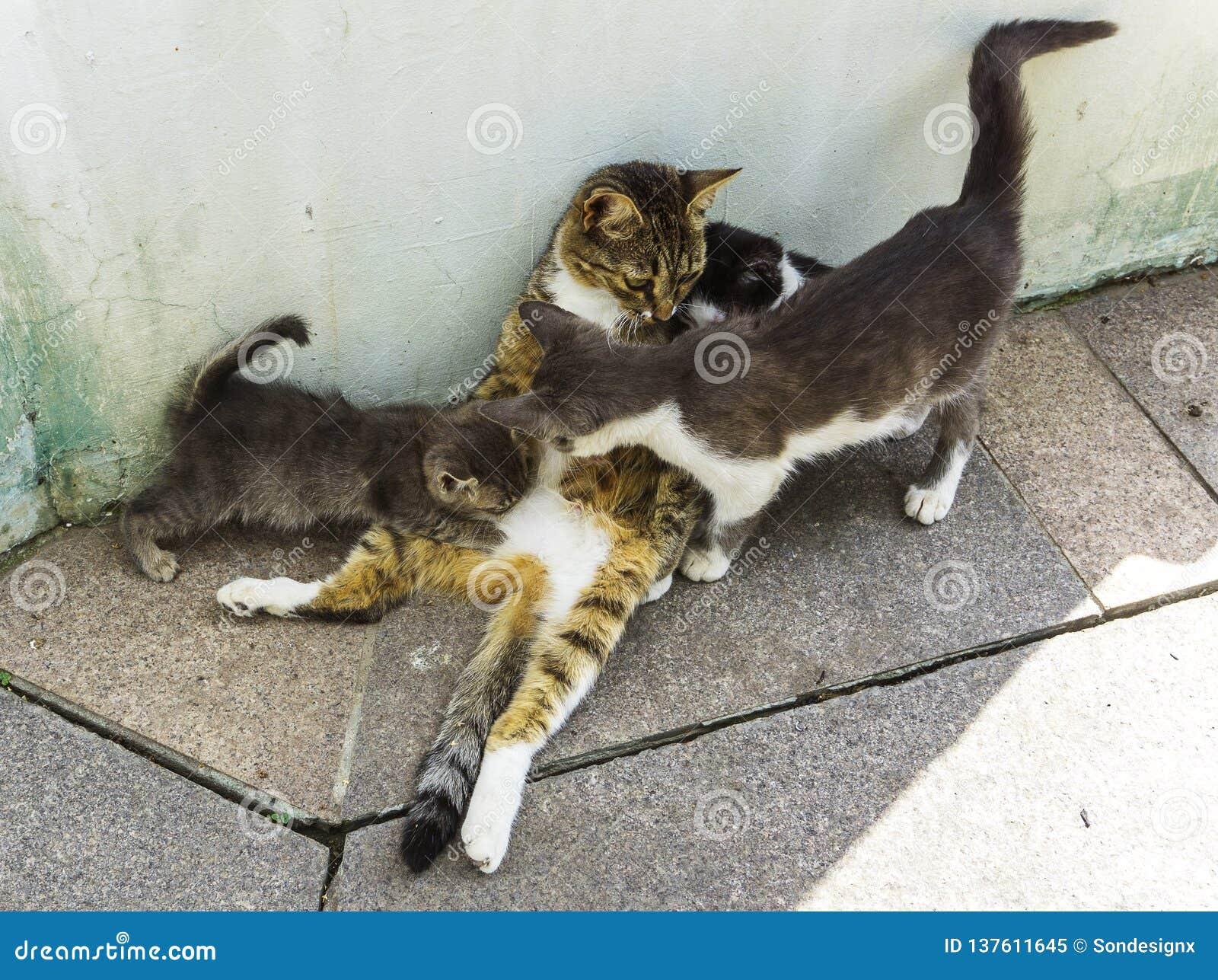 Moderkatten som matar och tar omsorg av tre kattungar på stengolv på, parkerar kattungar dricker mjölkar och spela med mamman på