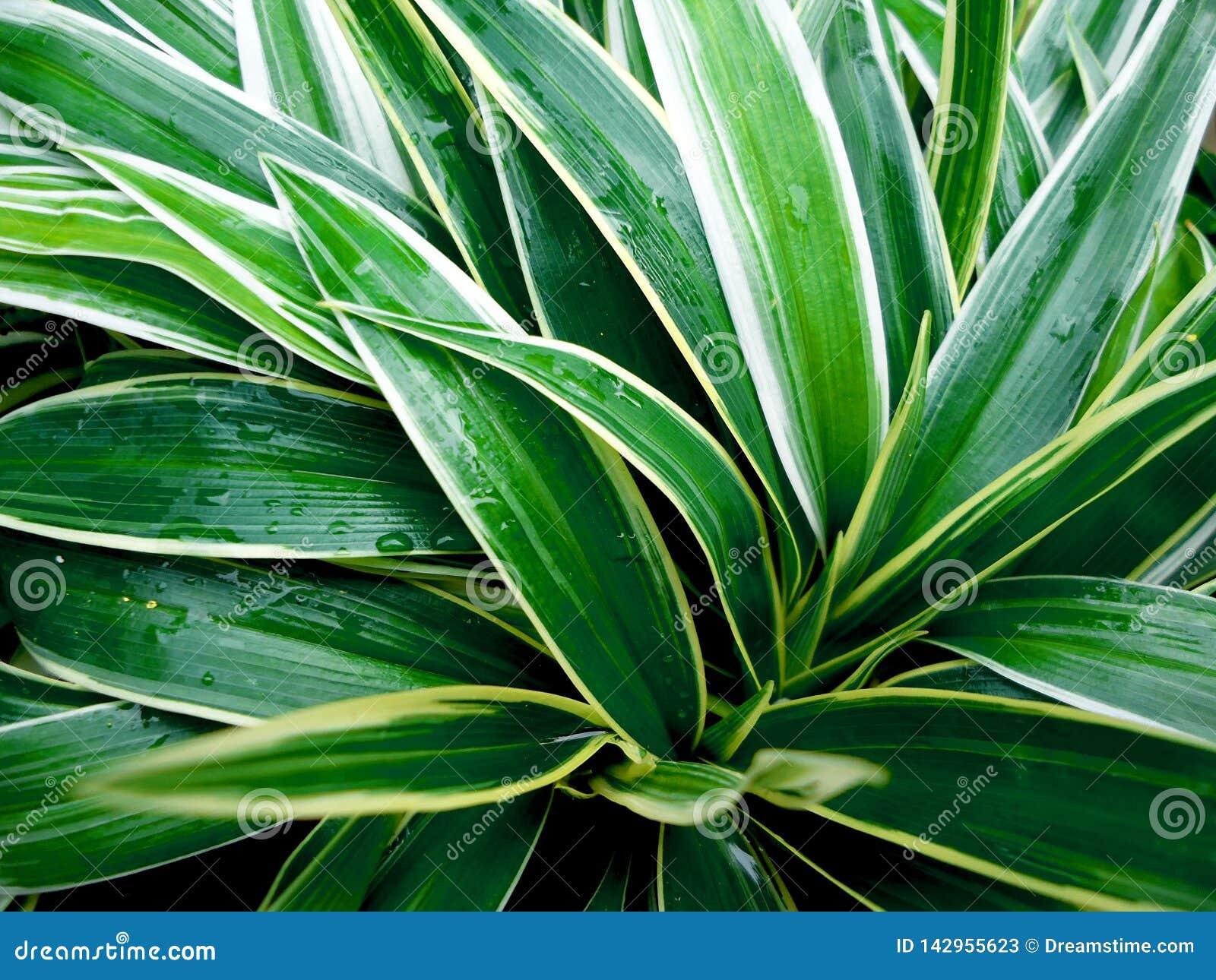 Moderliga växter, kärr Shui som är lycklig