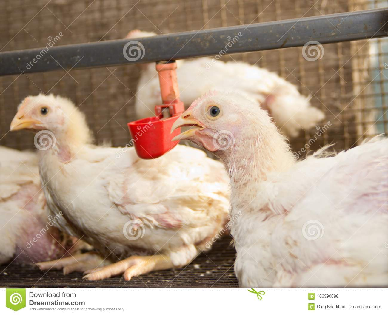 Modern Chicken Farm Production Of White Meat Stock Photo