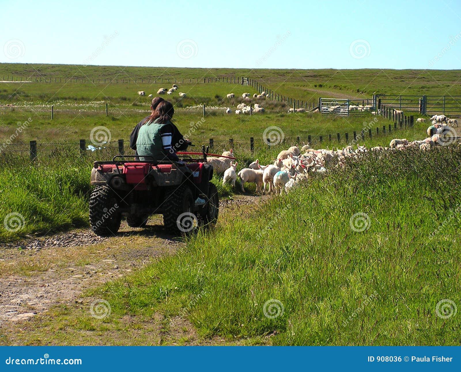 Modern sheepdog