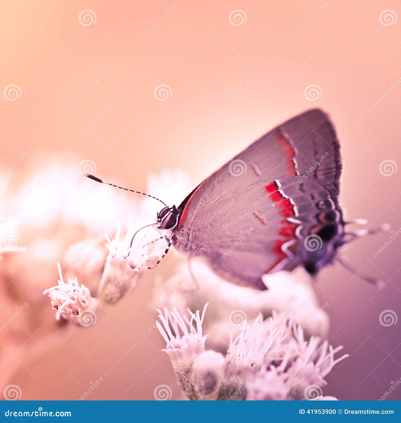 Modraszka motyl Na Białym kwiacie