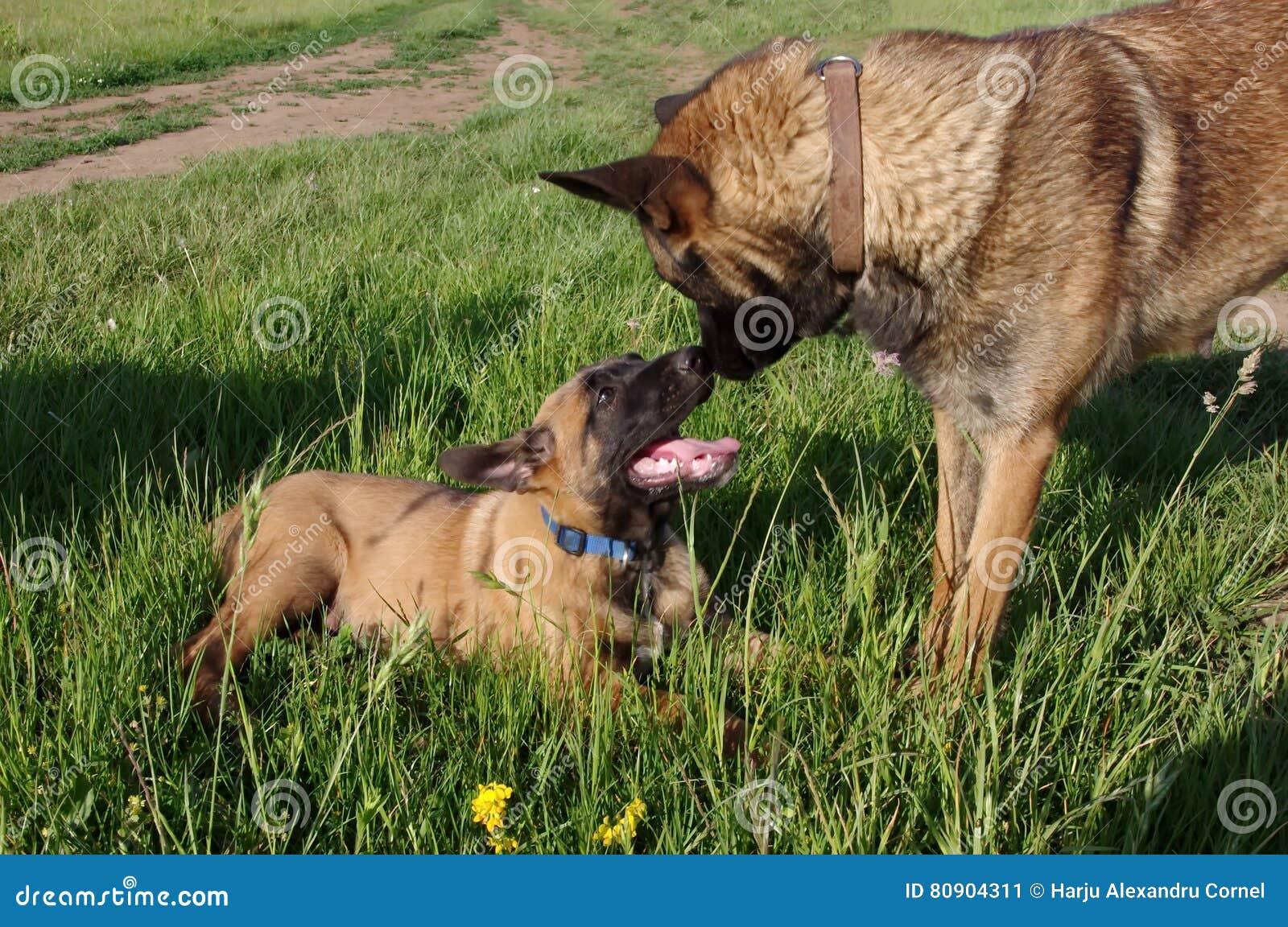 Moeder en puppyhonden