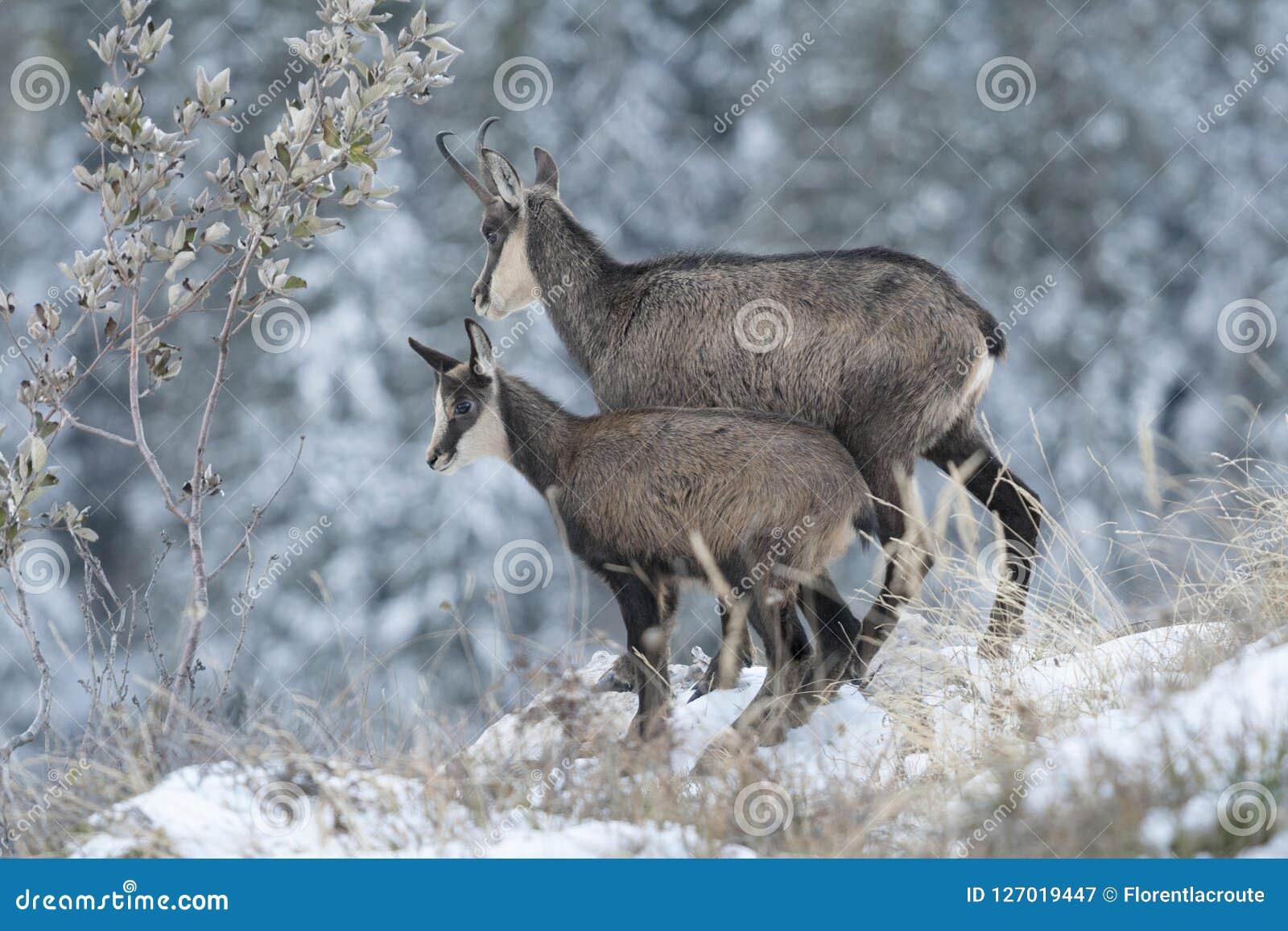 Moeder en welpgemzen in de sneeuw, Rupicapra-rupicapra, Chartre