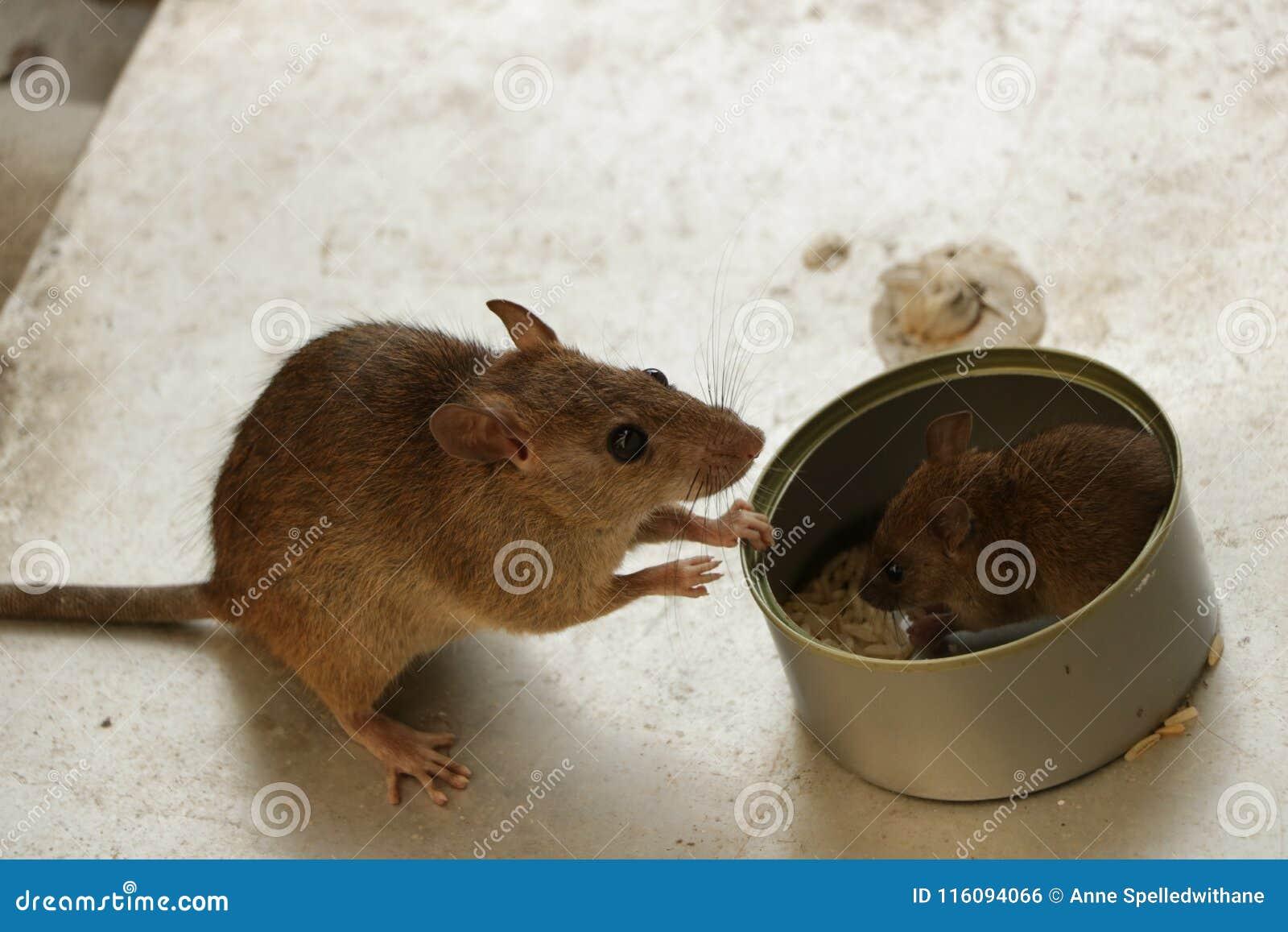 Moedermuis die op haar letten Weinig Jong etend Rijst binnen Tin Can