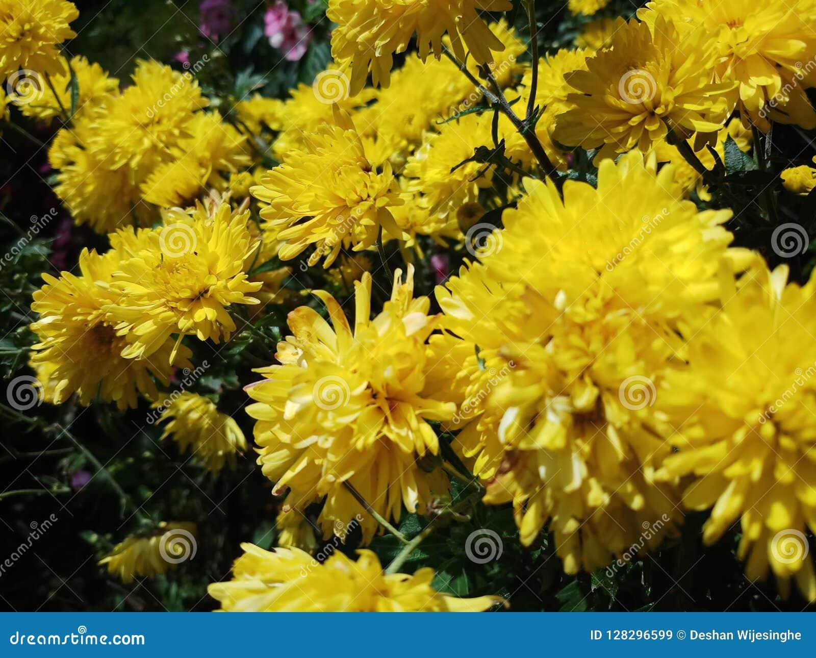 Moeras gele bloemen in Sri Lanka