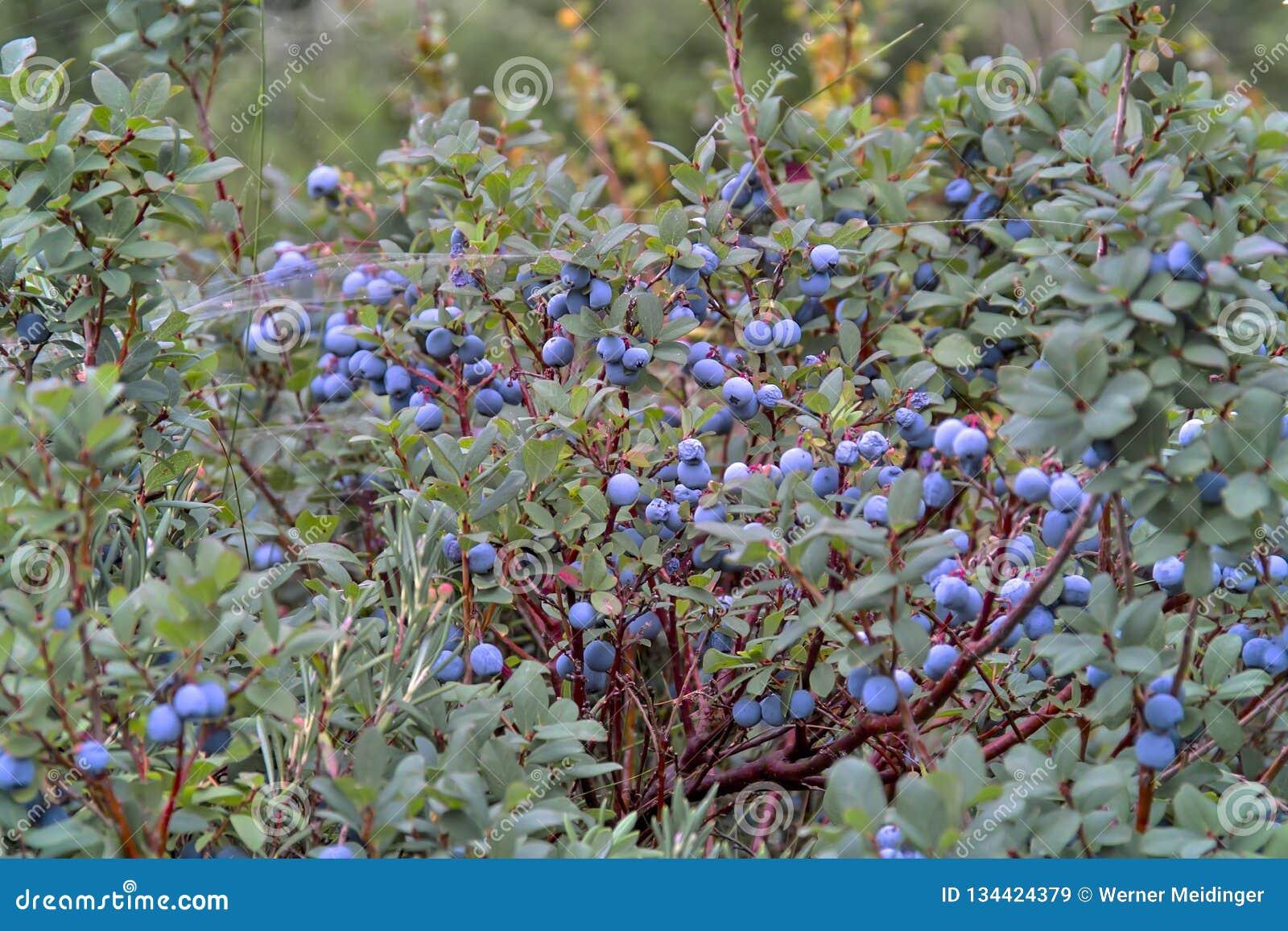 Moerasbosbes, Noordelijke Bosbes, Vaccinium uliginosum, vruchten in de zomer