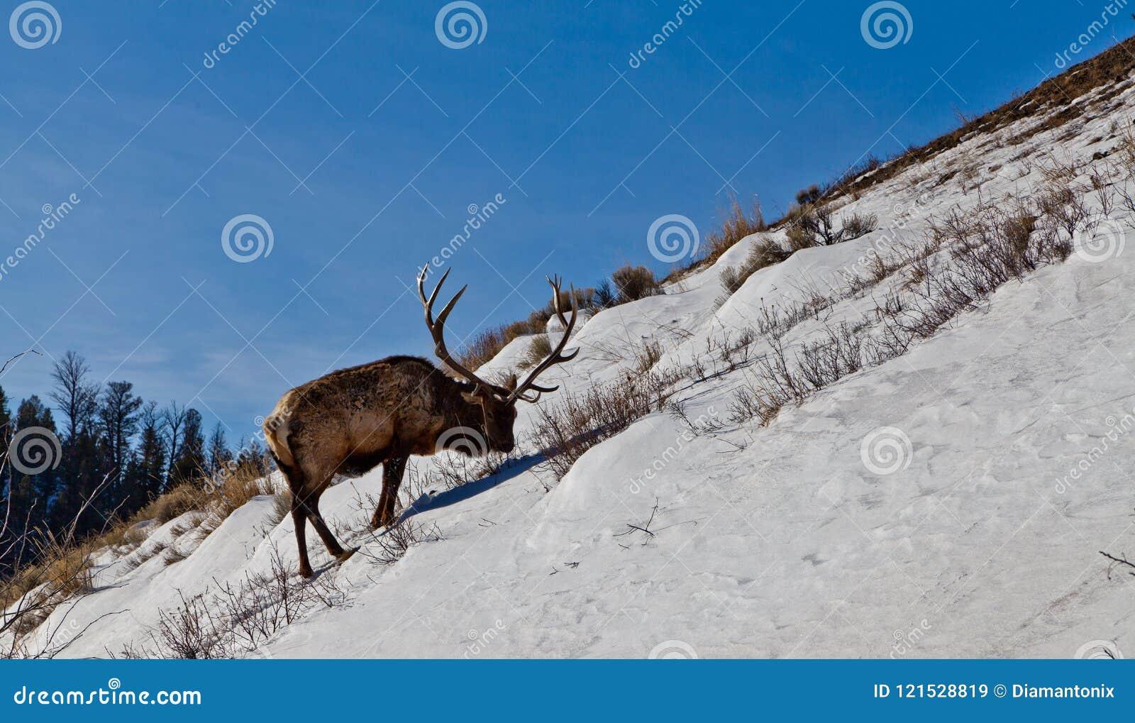 Mogen älgtjur som söker efter mat på den branta snöig kullen