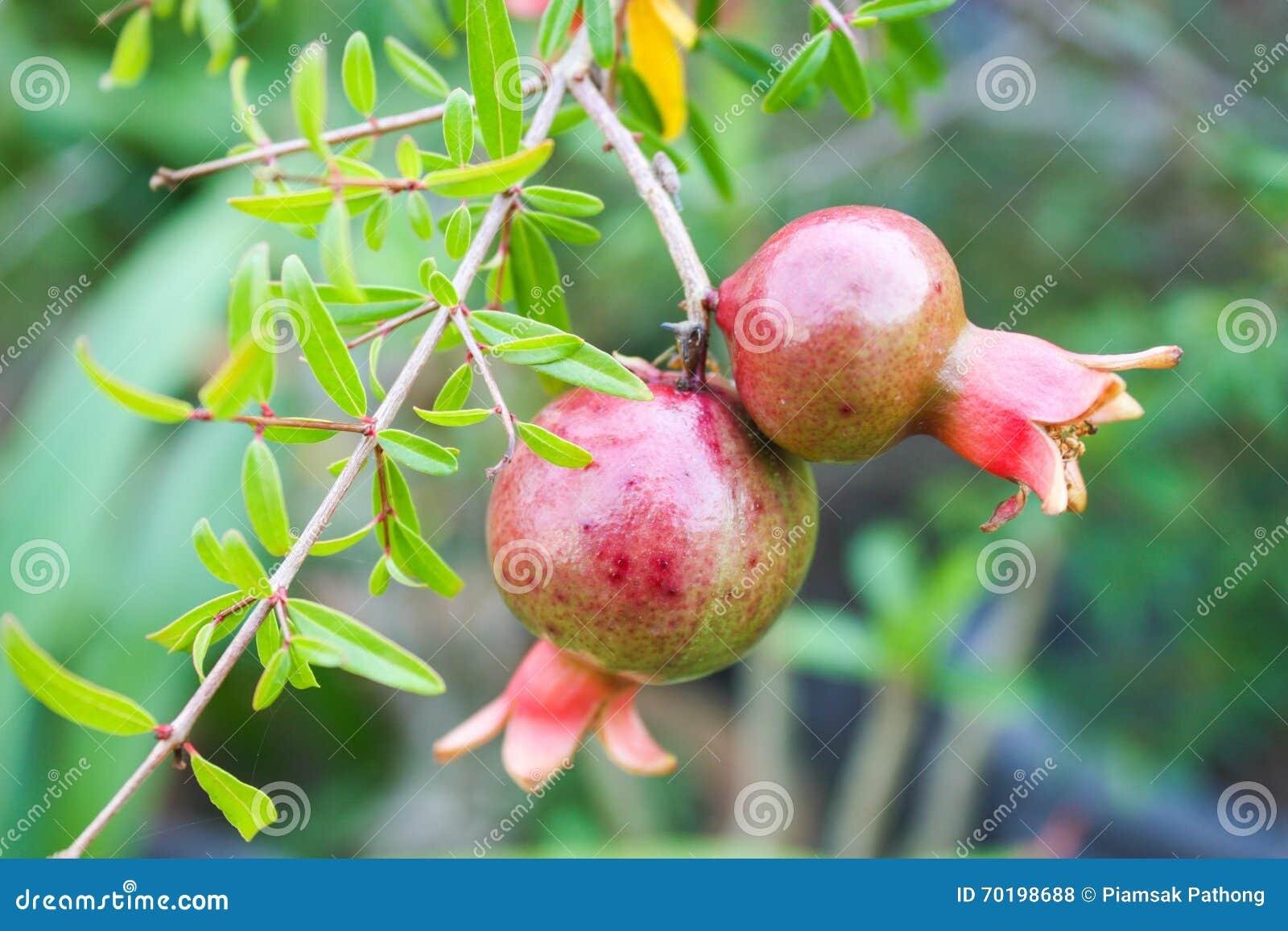 Mogen fruktpomegranate