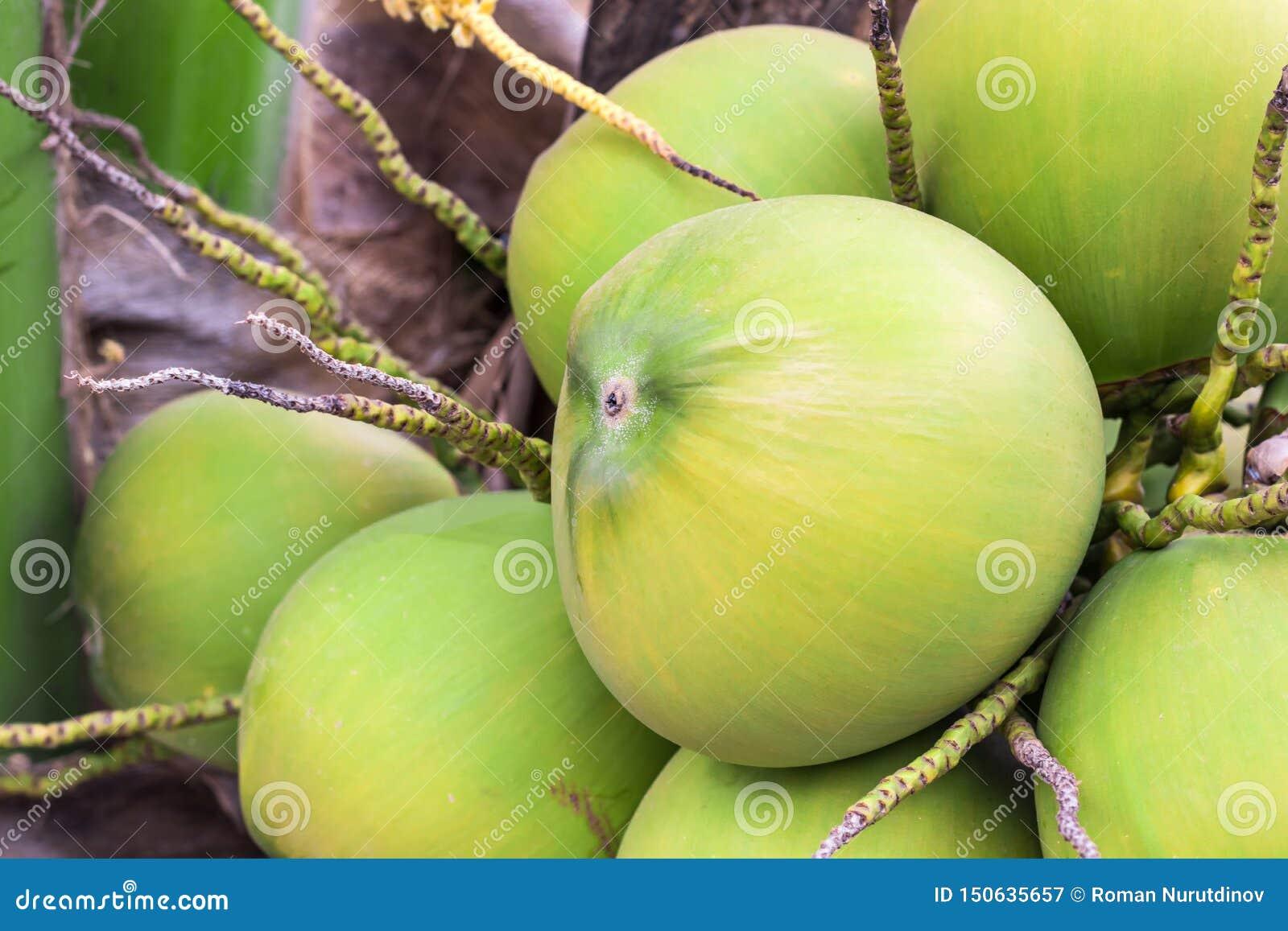 Mogen kokosn?tfrukt