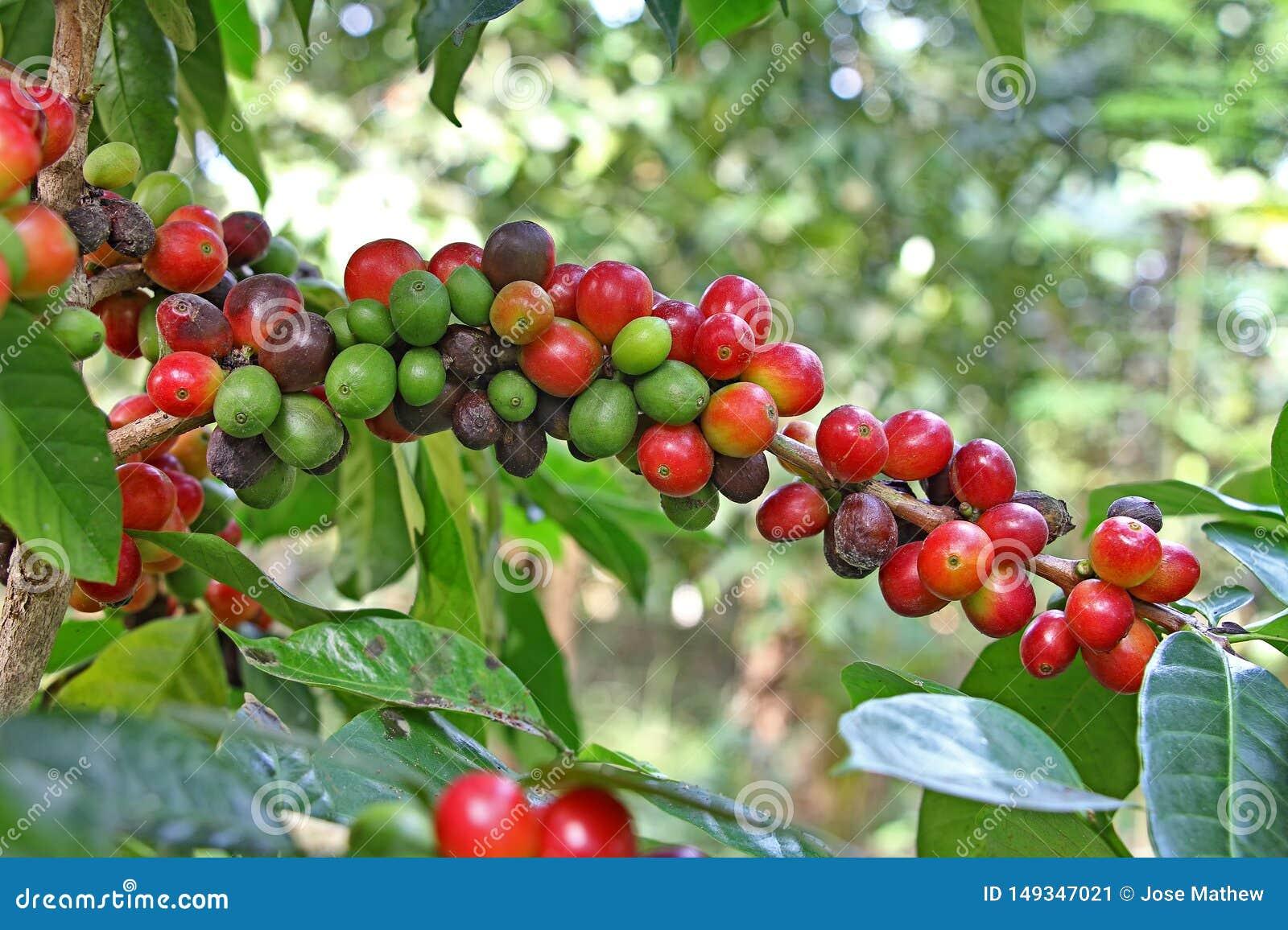 Moget kaffe Bean Clusters i växt