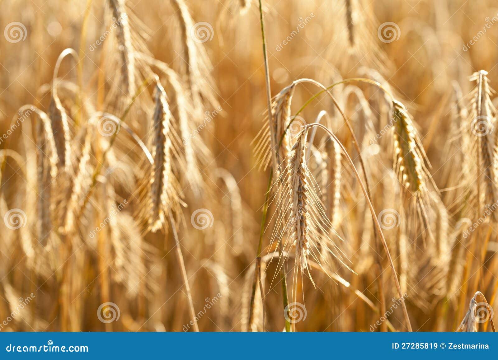 Moget vete i ett fält