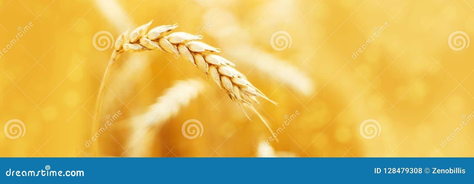 Mogna öron av råg i fält under åkerbrukt sommarlandskap för skörd lantlig plats Makro panorama- bild
