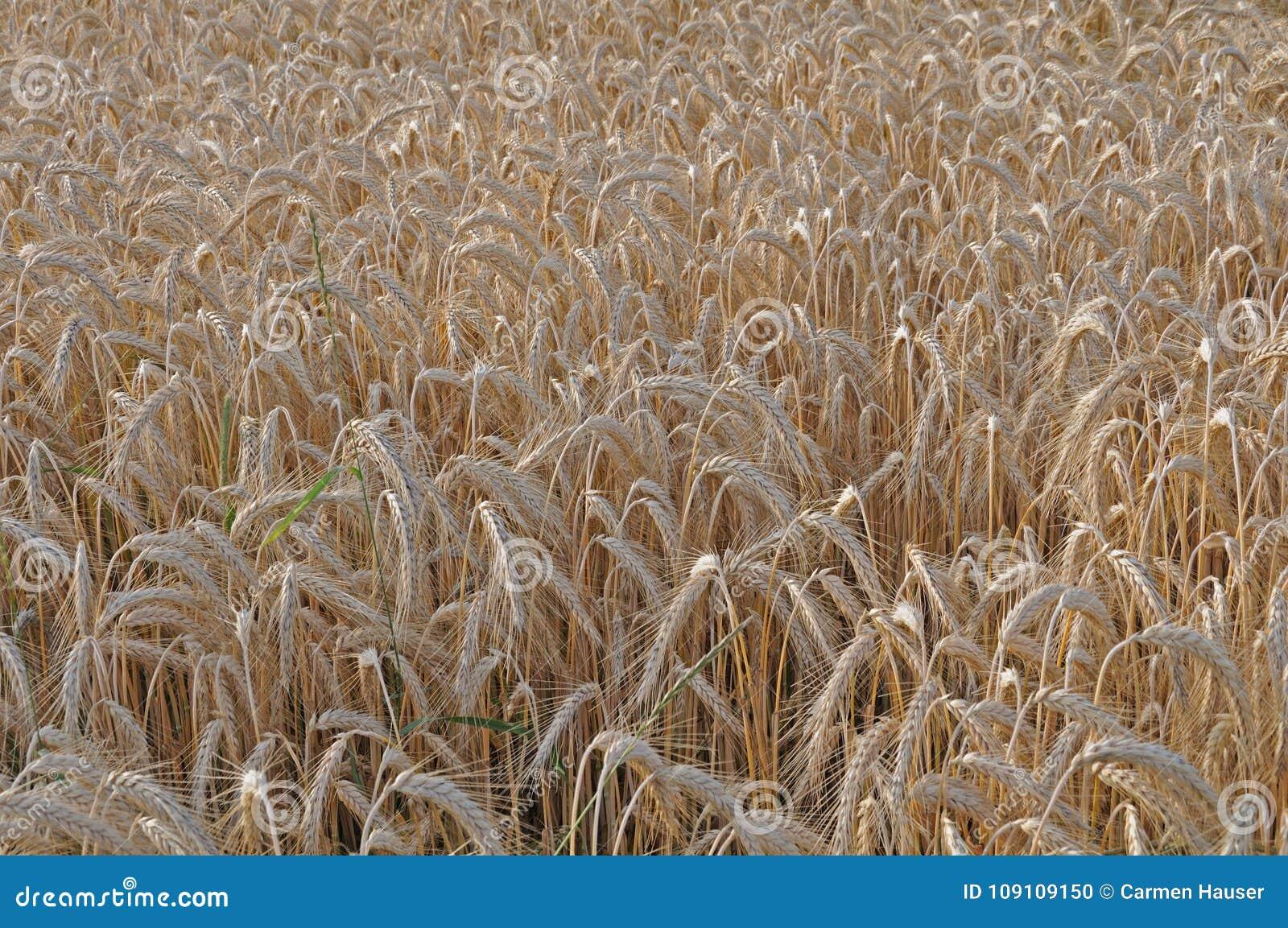 Mogna öron av två-rad korn