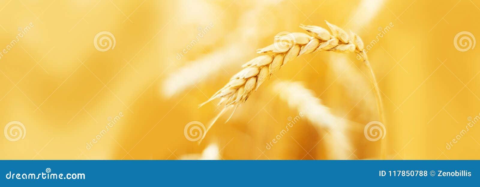 Mogna öron av vete i fält under skördslut upp Åkerbrukt sommarlandskap lantlig plats kopiera avstånd