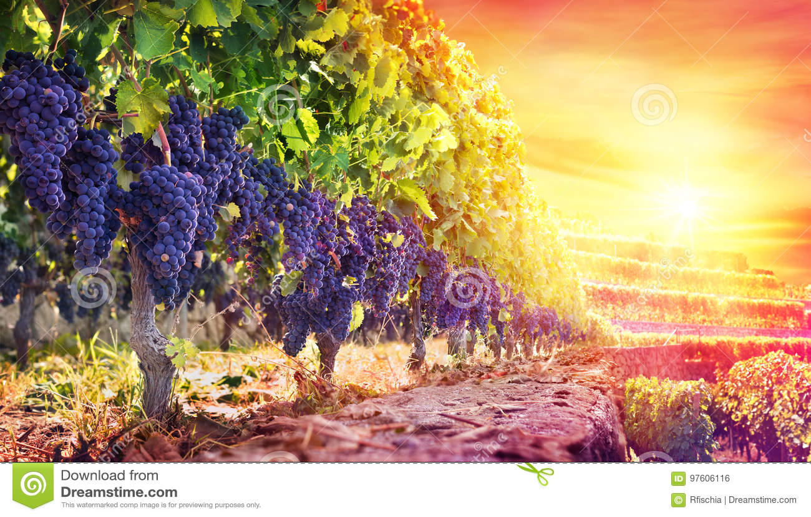 Mogna druvor i vingård på solnedgången
