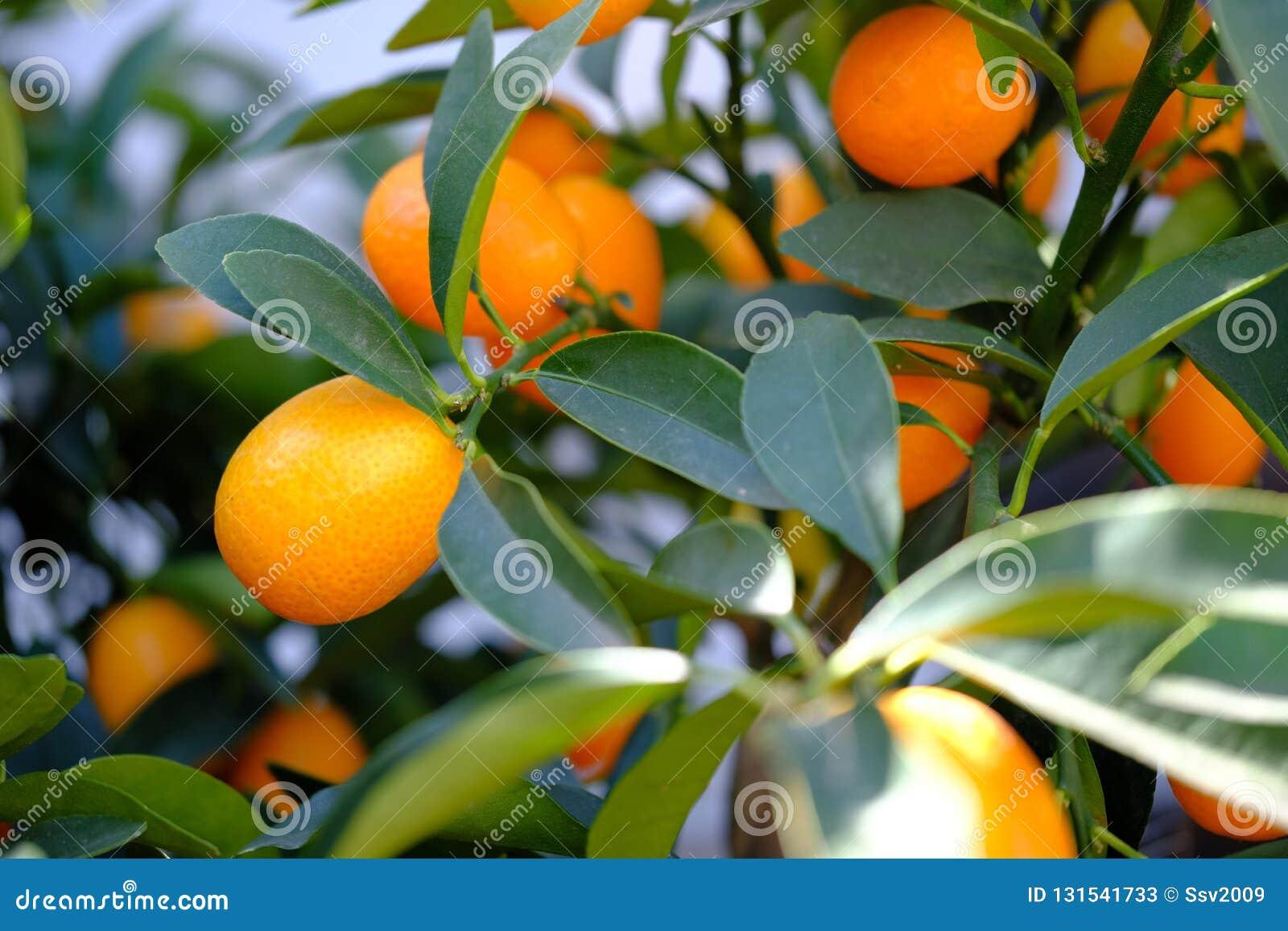 Mogna orange mandariner på filialerna med gröna sidor