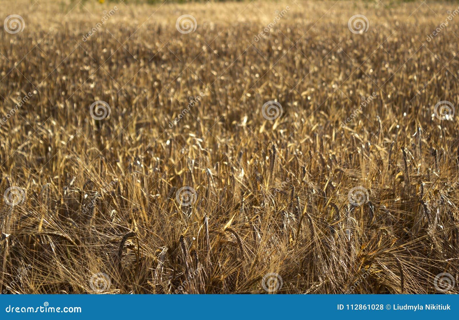 Mogna spikelets av vete i ett fält på solnedgången Jordbruk