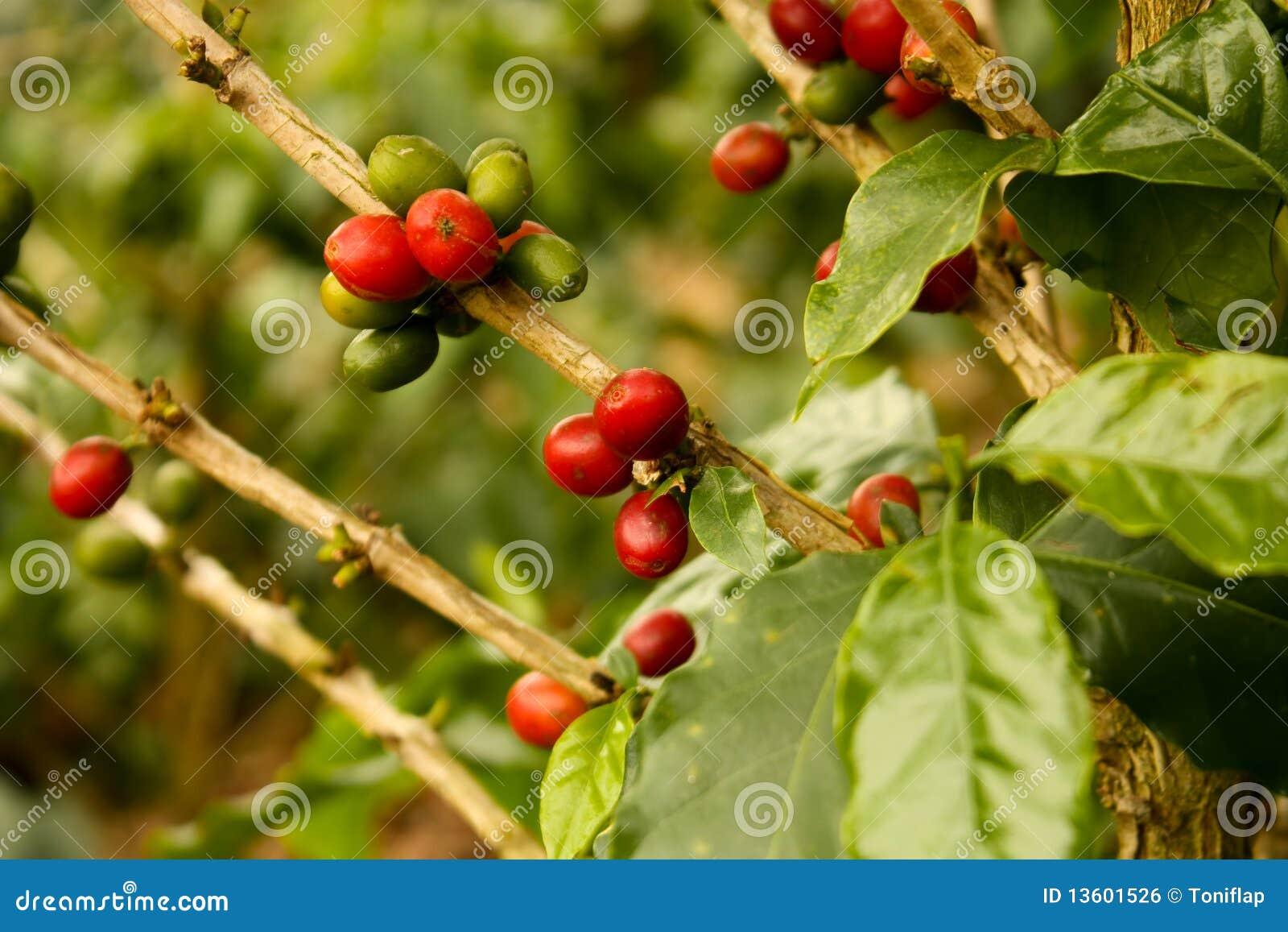Mogna växter för kaffe till