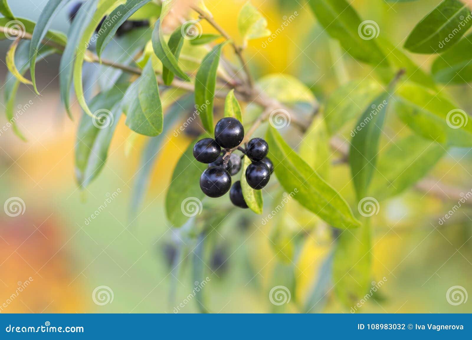 Mognade svarta bärfrukter för ligustrumen förgrena sig vulgare, buske med sidor, höst färgar i solljus
