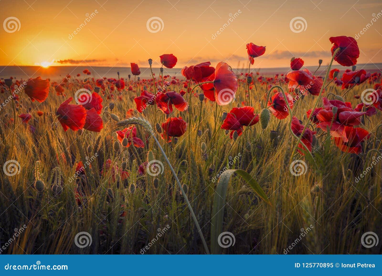 Mohnblumen auf einem Weizengebiet