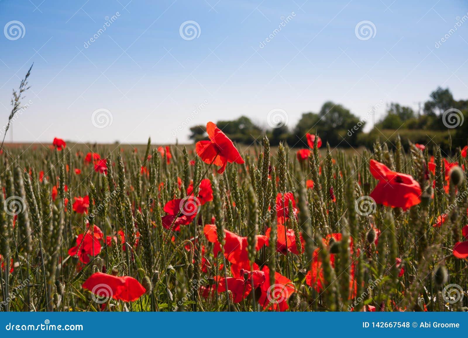 Mohnblumenfeld an einem Sommertag