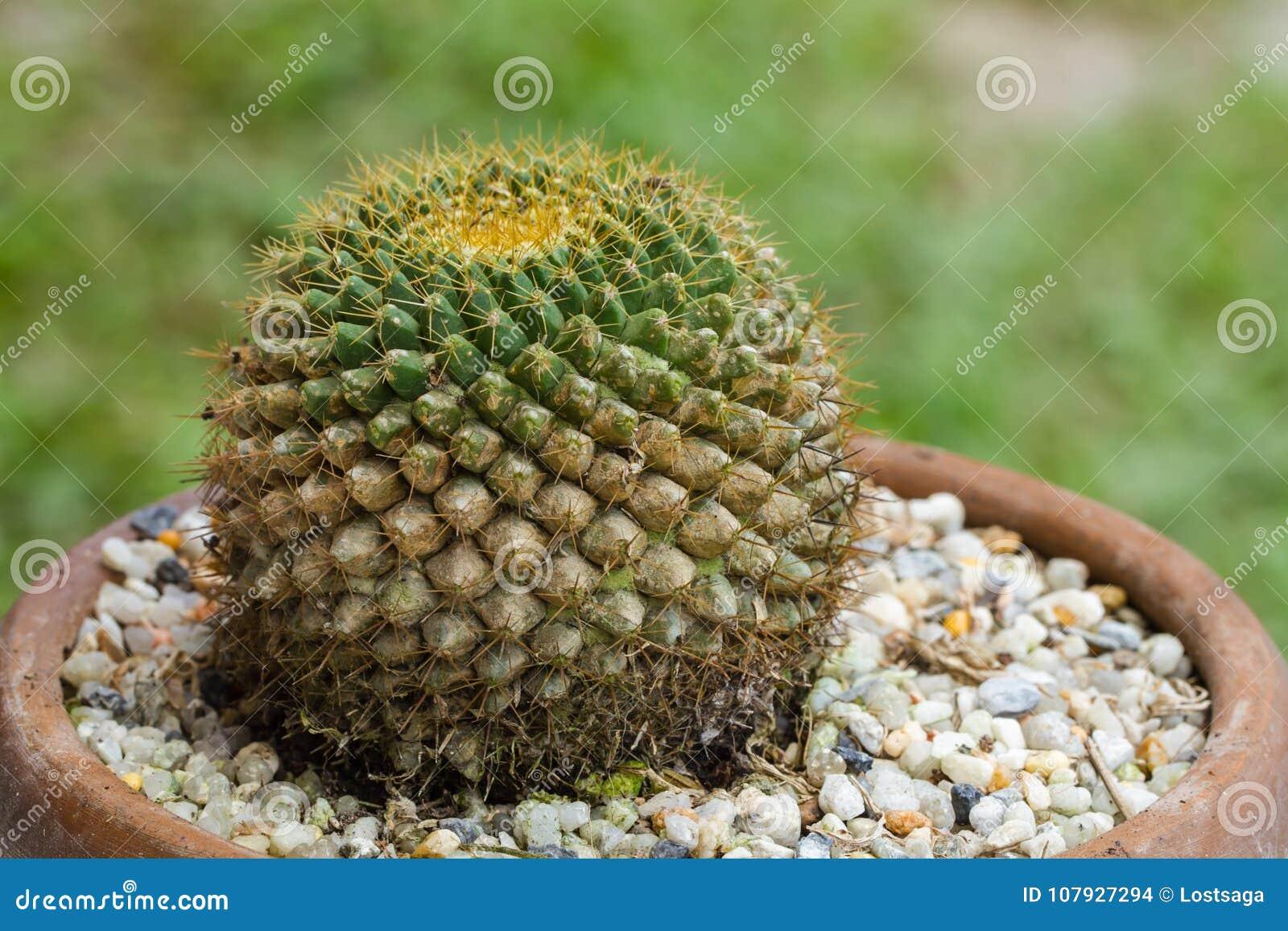 Mohos de la planta en el cactus