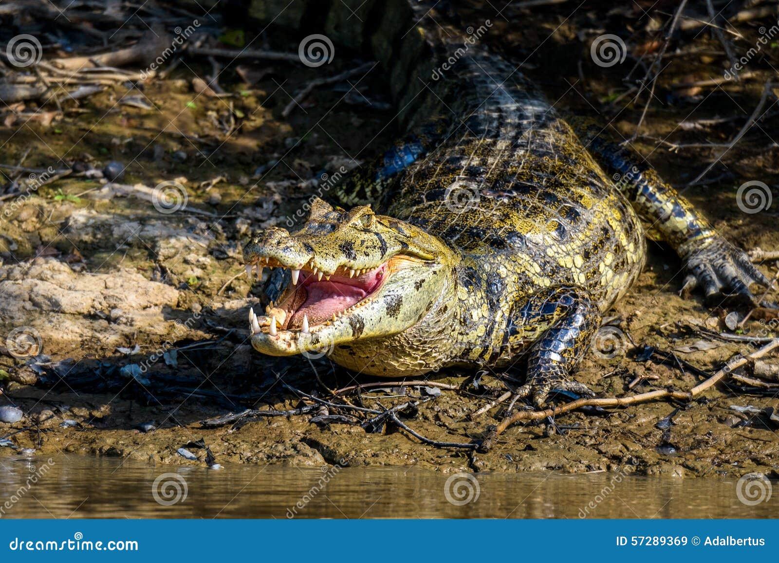 Black caiman - Wikipedia