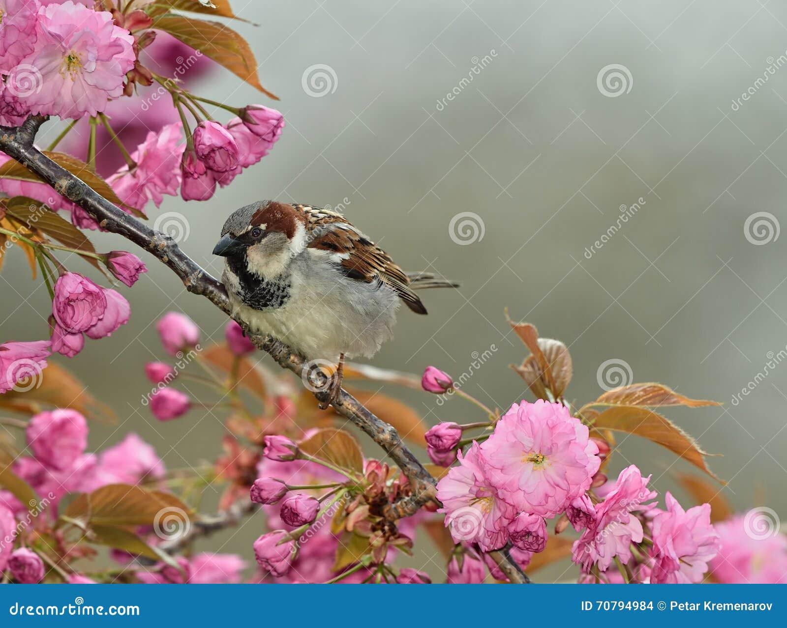 Moineau dans des fleurs de cerisier