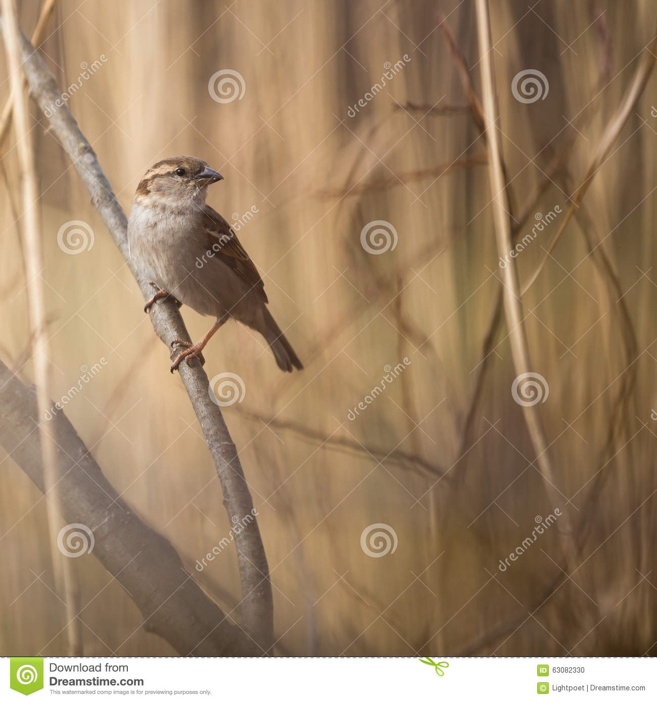 Download Moineau de Chambre photo stock. Image du faune, birding - 63082330