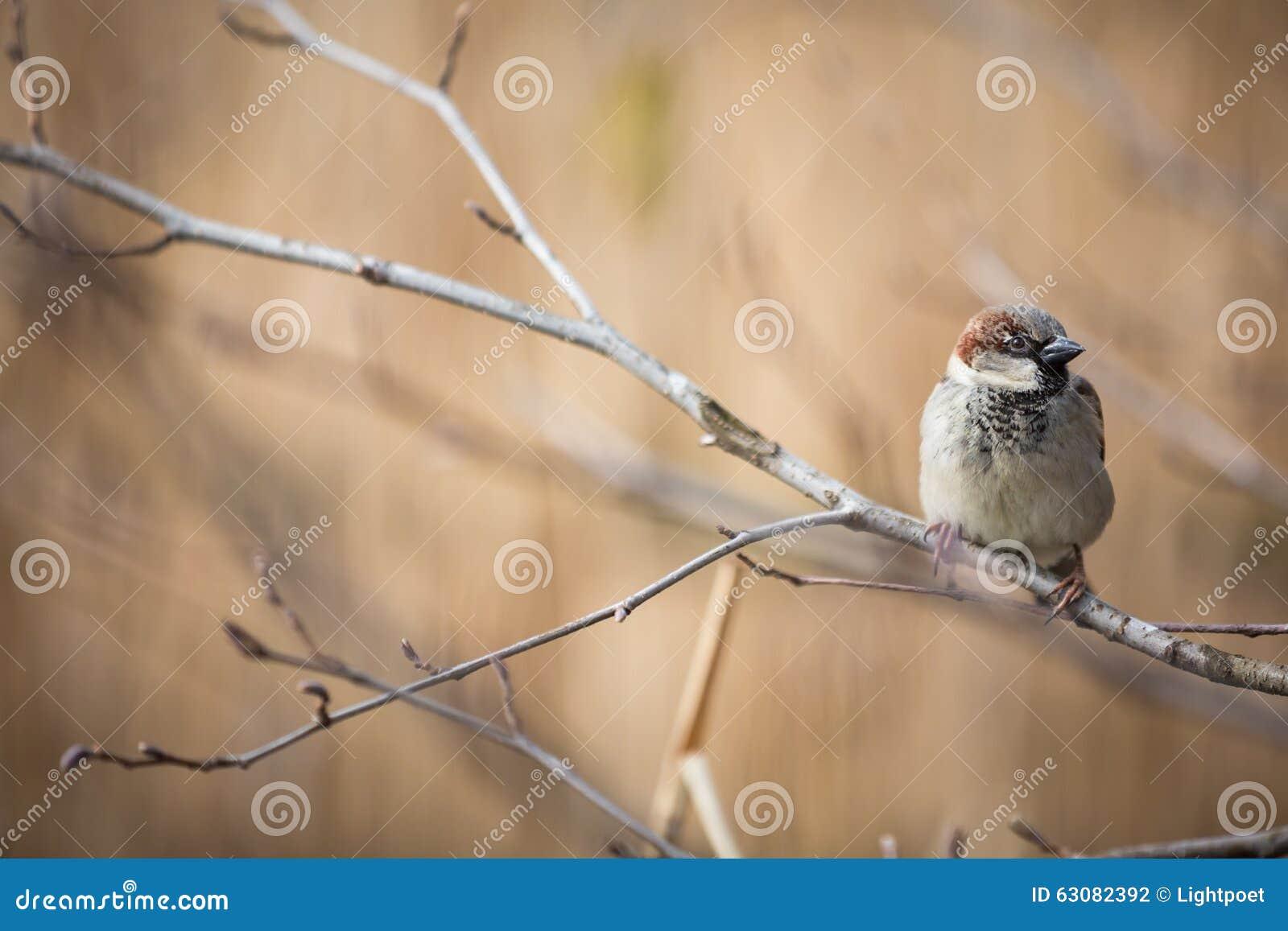 Download Moineau de Chambre photo stock. Image du ornithologie - 63082392