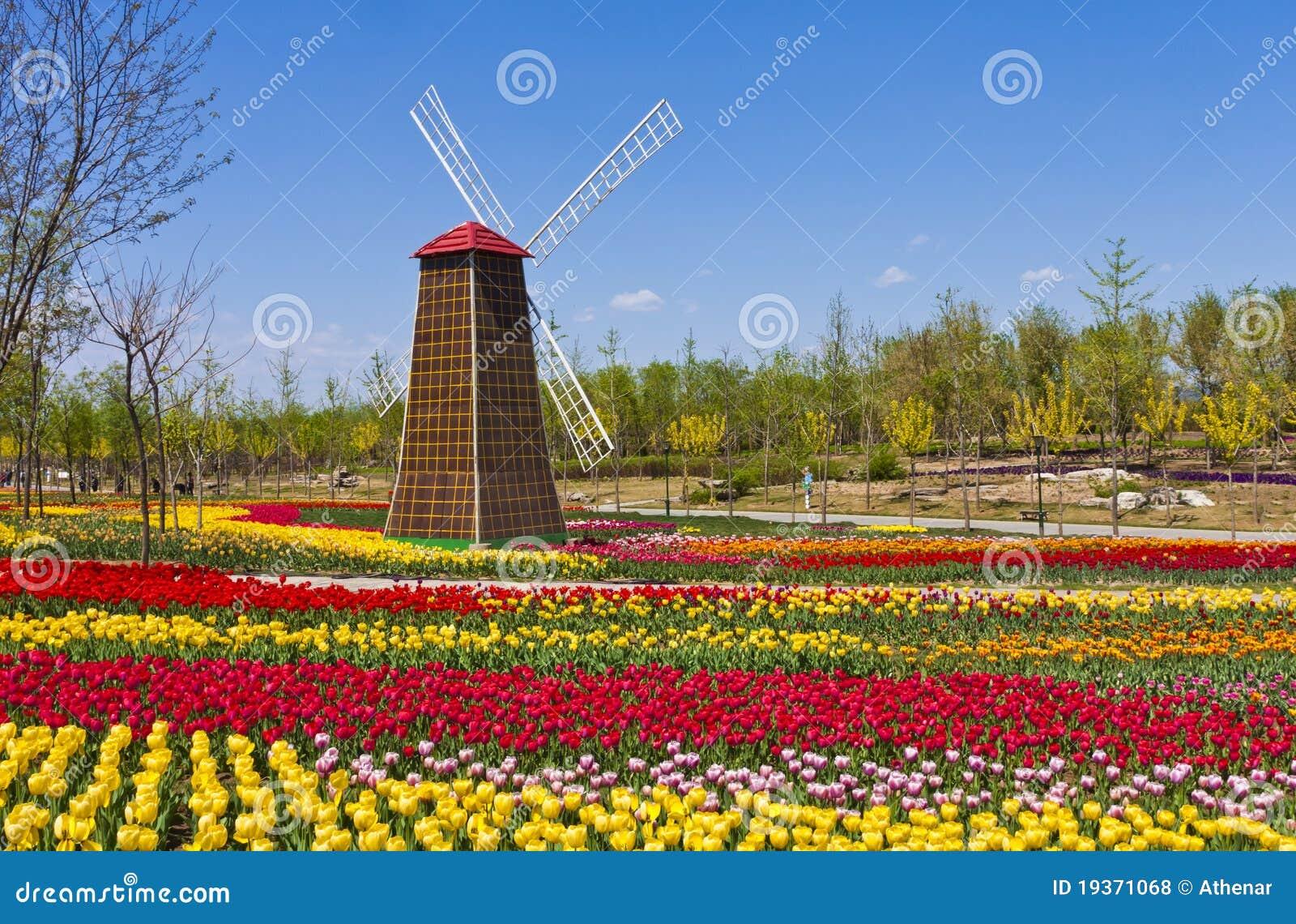 Moinho de vento com campo do tulip