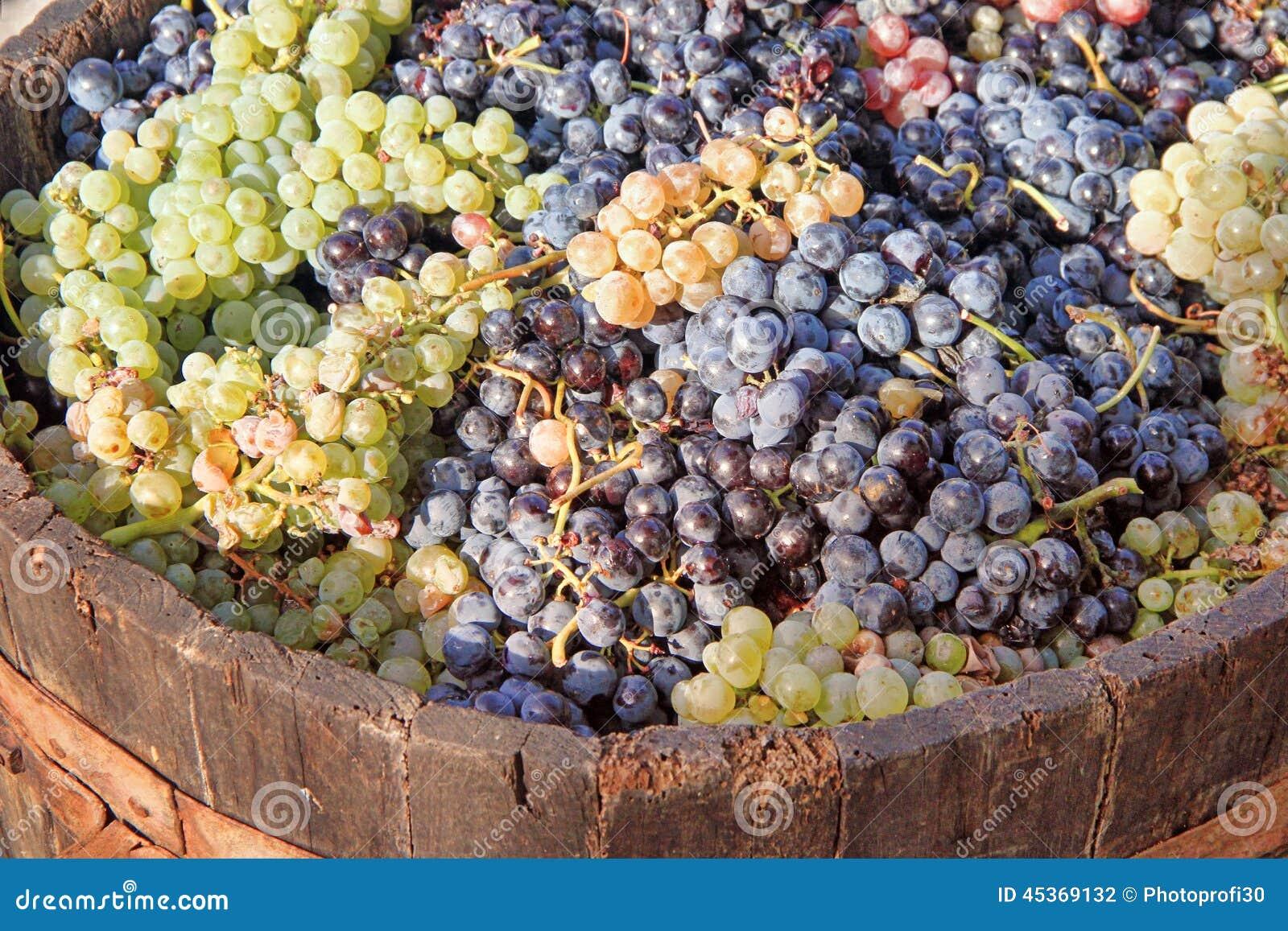 Moisson des raisins