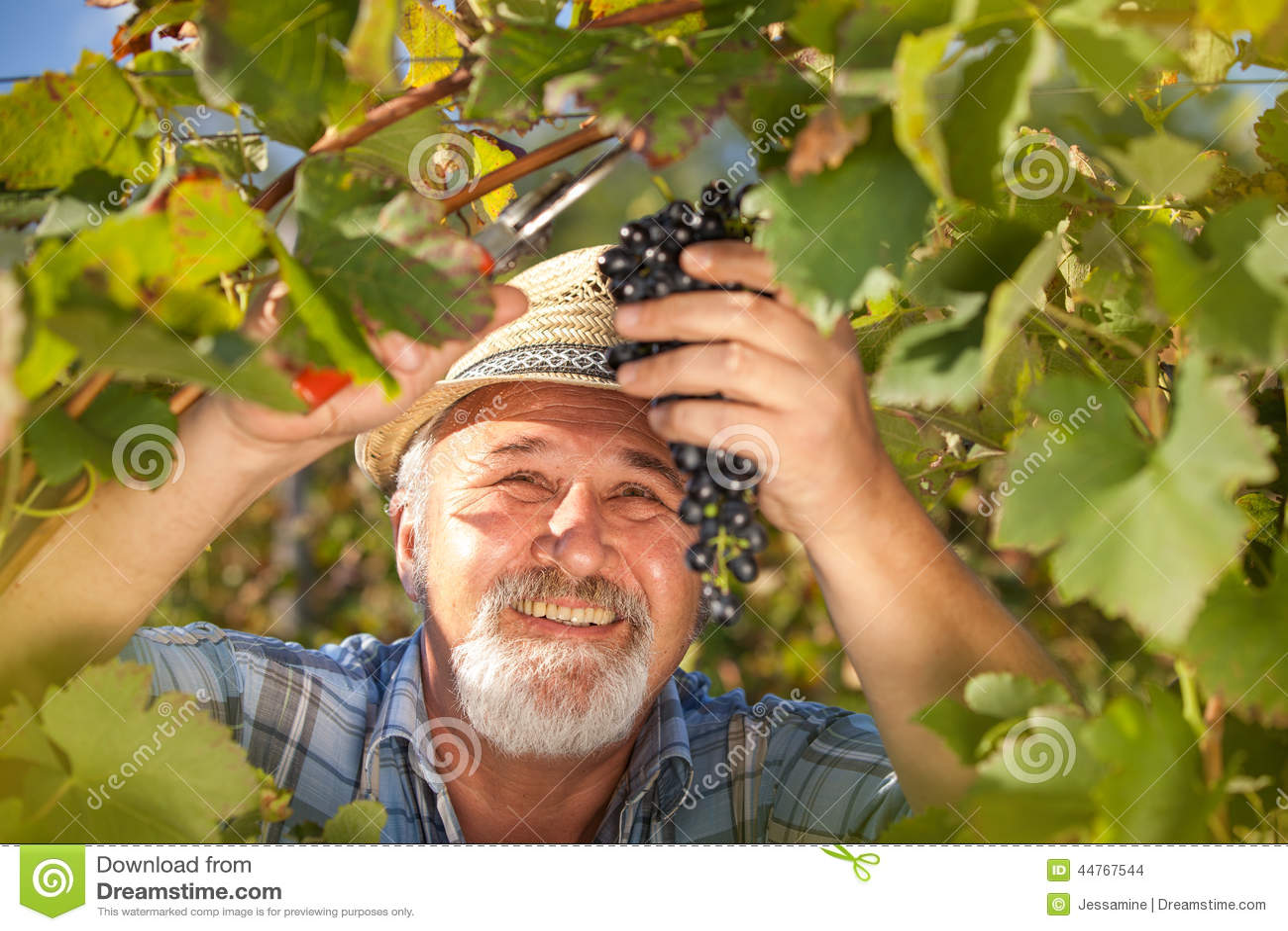 Moisson des raisins dans le vignoble