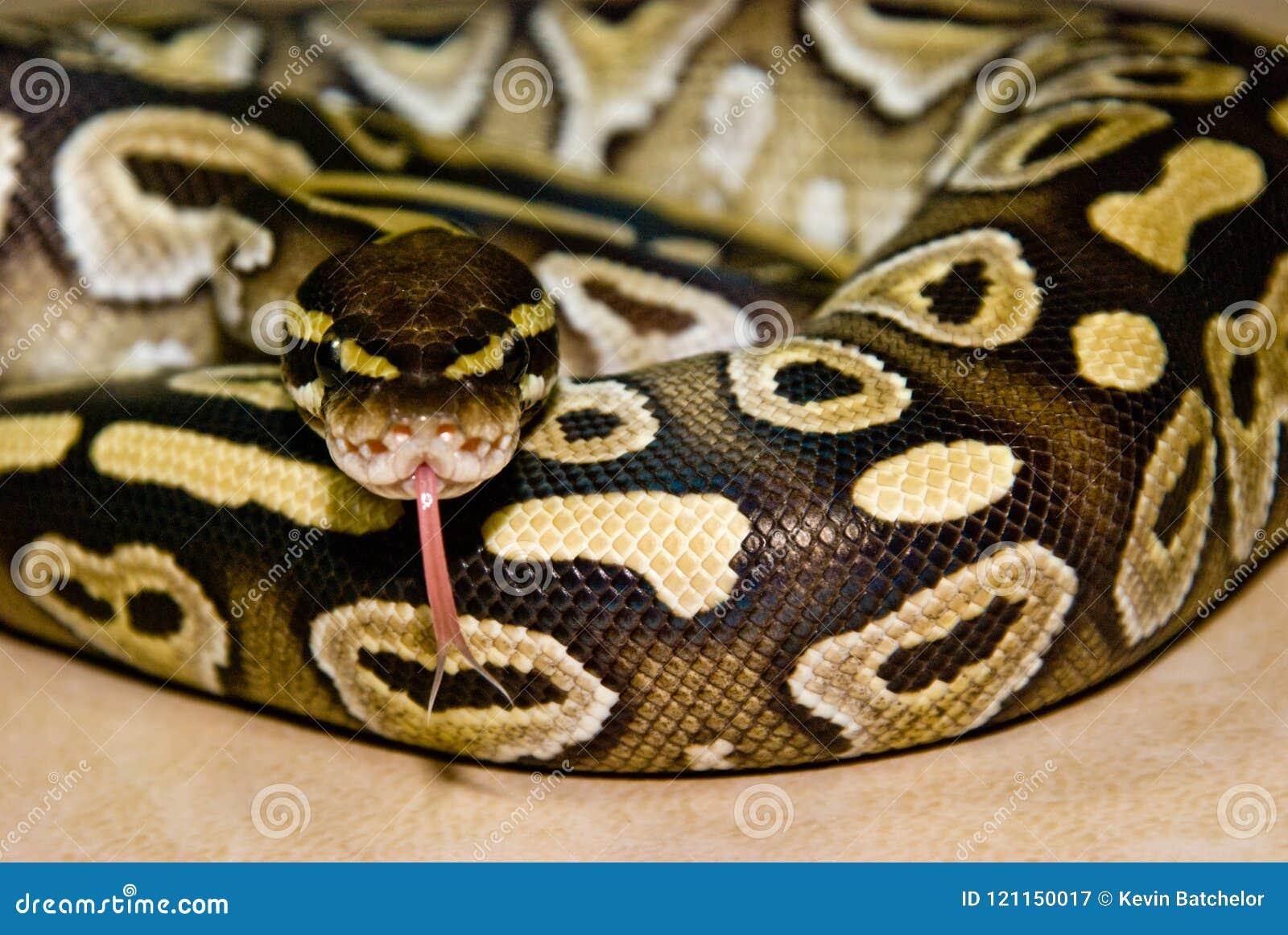 Mojave-Ball-Pythonschlange