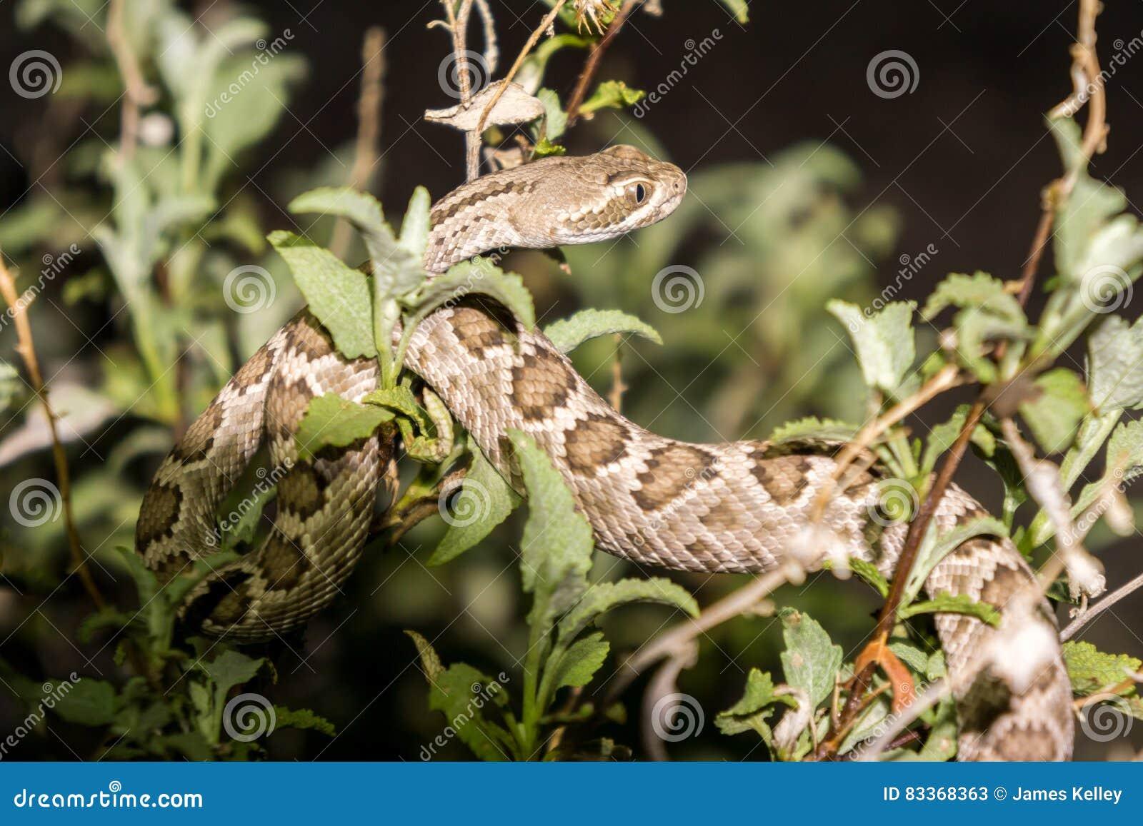 Mojave Rattlesnake In Arizona Desert Stock Image Image Of Scales