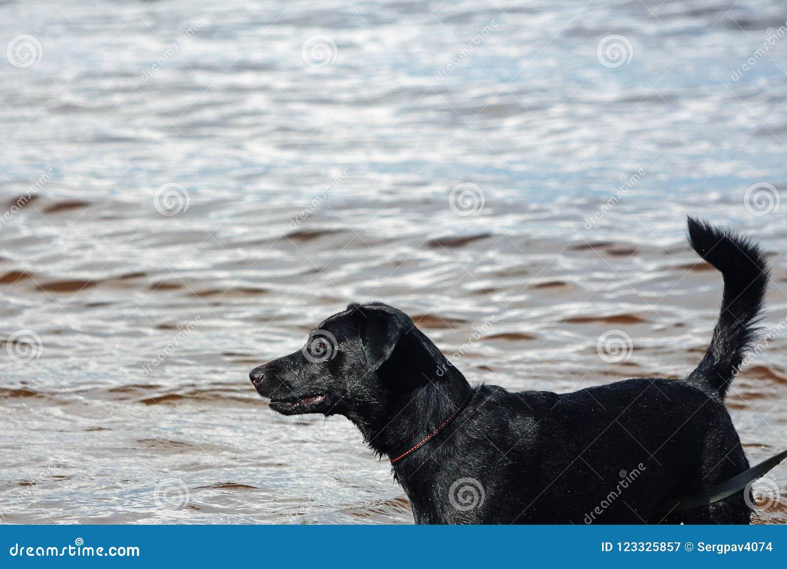 Mokry czarny pies w wodzie