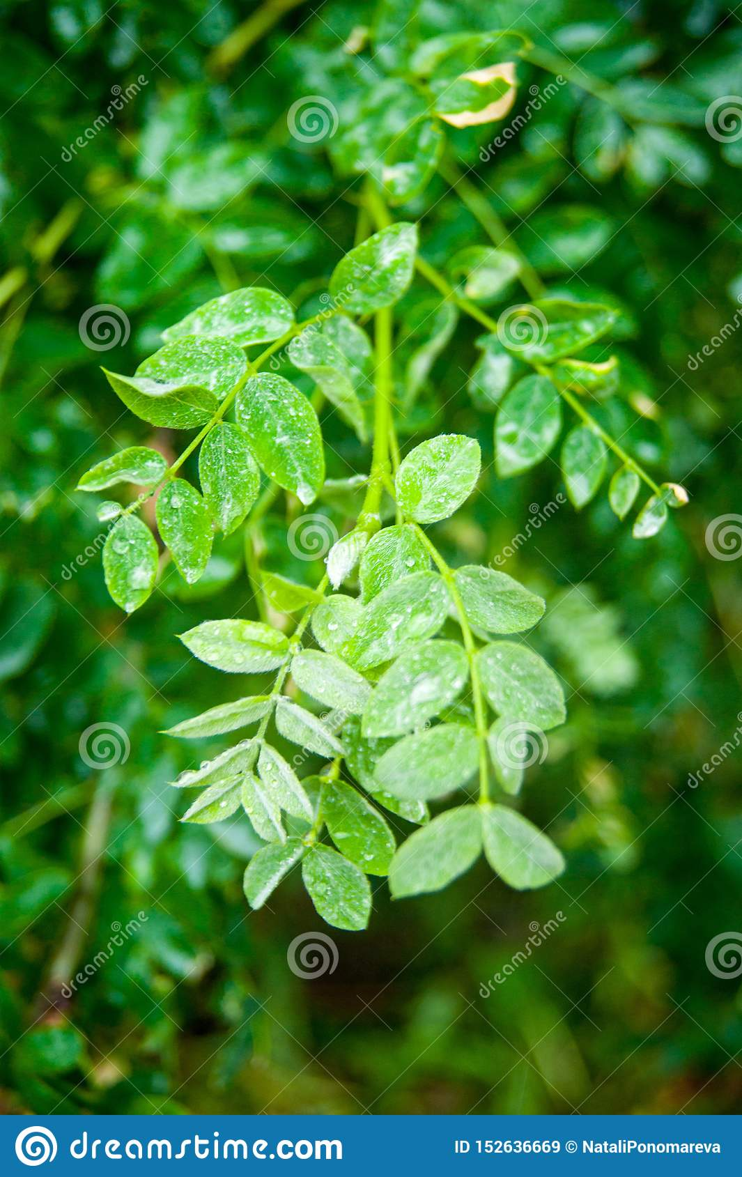 Mokrzy rosehip liście z raindrops na one Ziele? Mokra rosa
