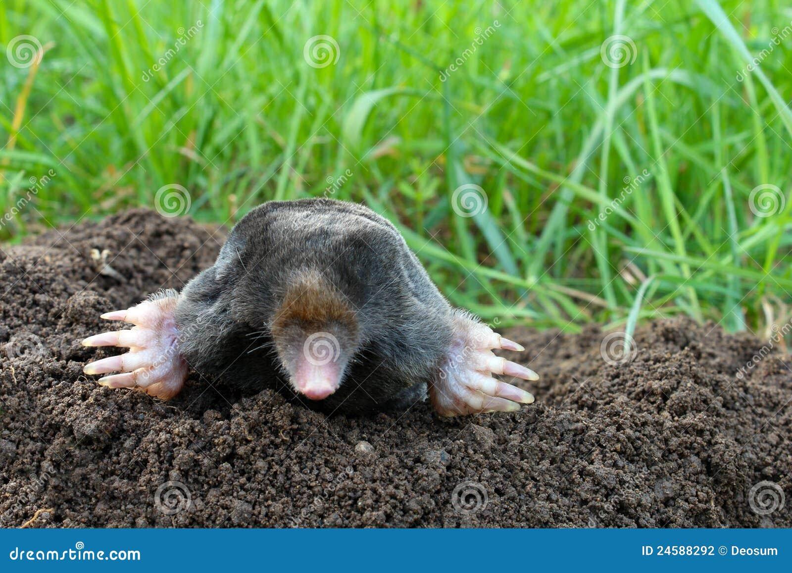 mol en molshoop op tuin stock foto afbeelding bestaande