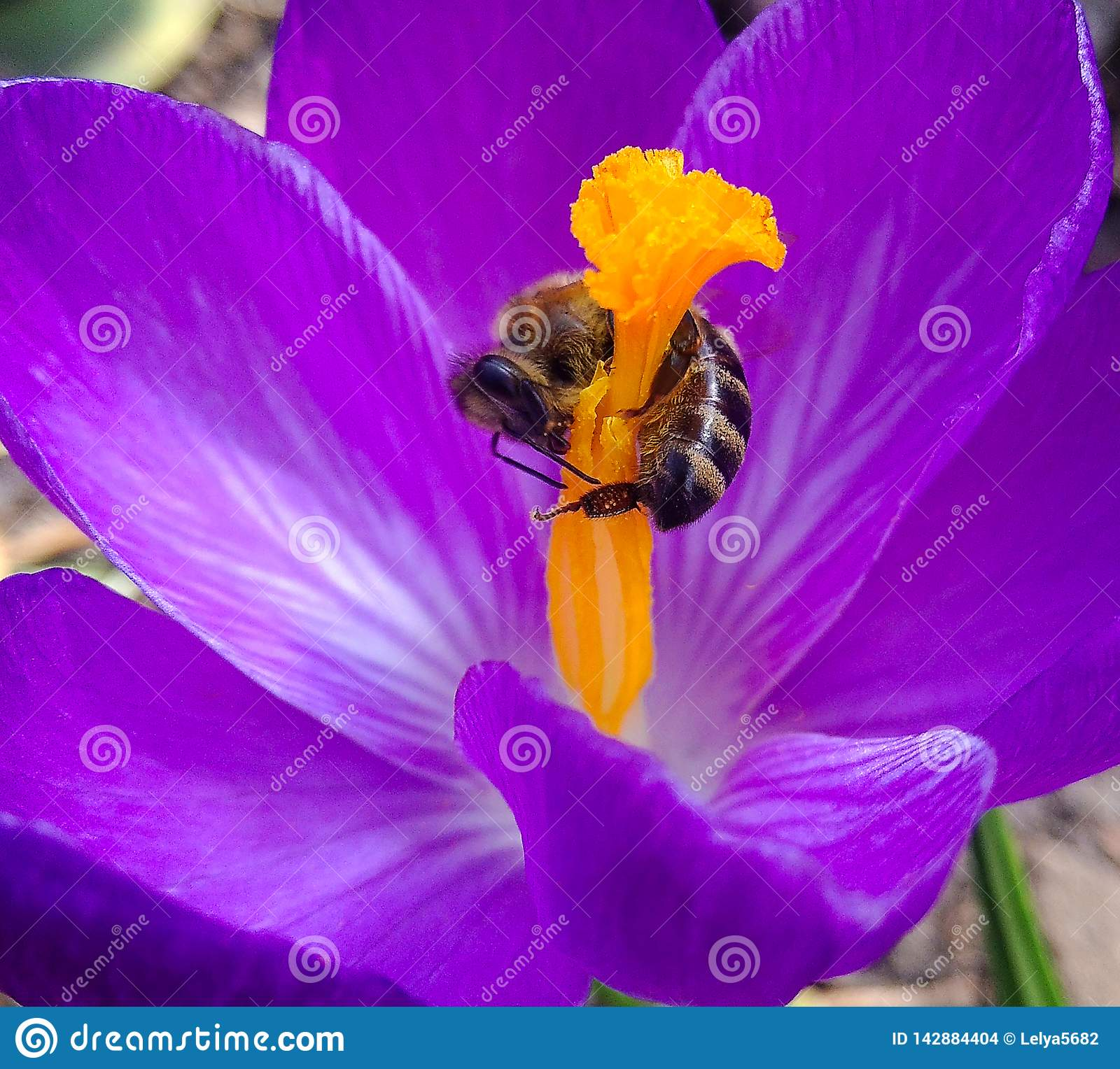 Mola, flor e abelha Abelha na mola do açafrão da flor abelha em um fim da flor acima Foco seletivo