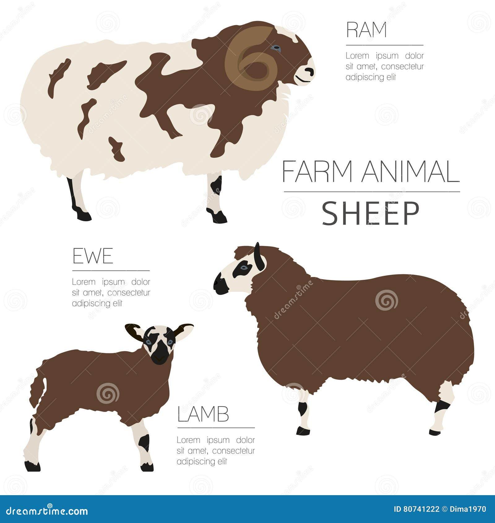 Molde Infographic Do Cultivo De Carneiros Ram Ovelha Família Do