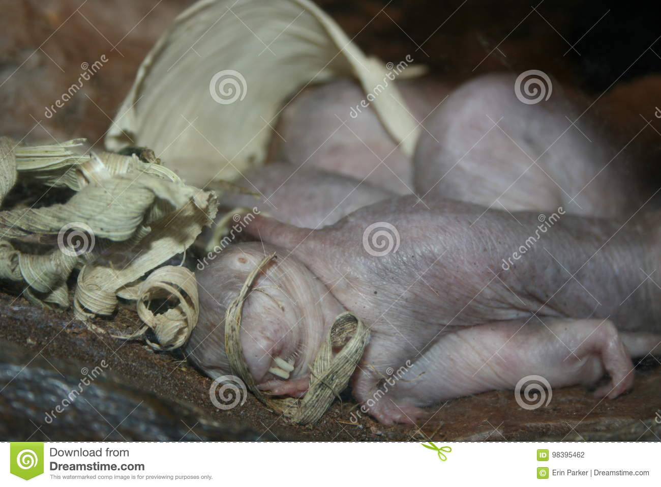 Mole Rat Stock Photo Image Of Family Animal Baby Micro 98395462