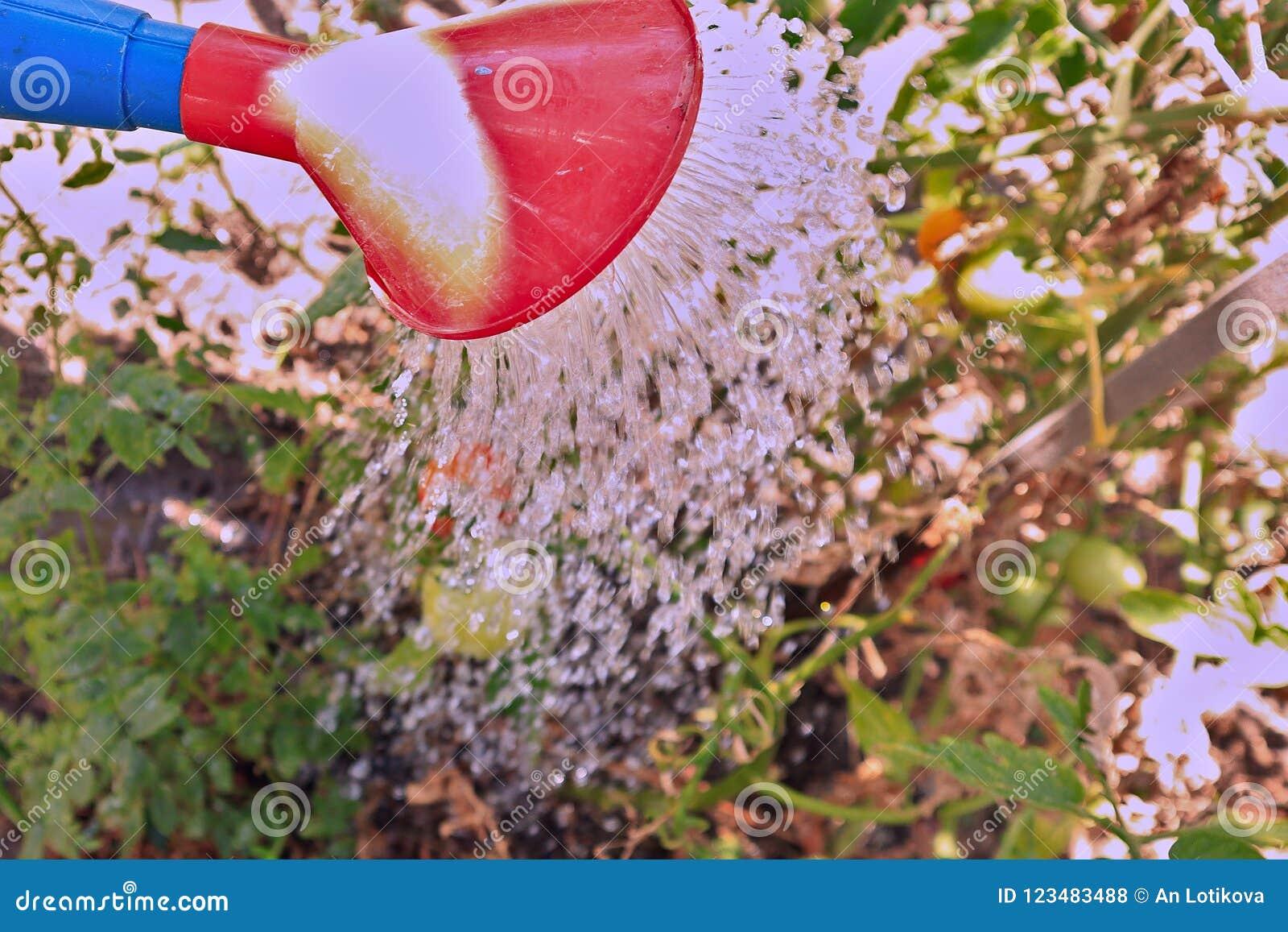 Molhar da colheita, água derrama da lata molhando nos arbustos com tomates