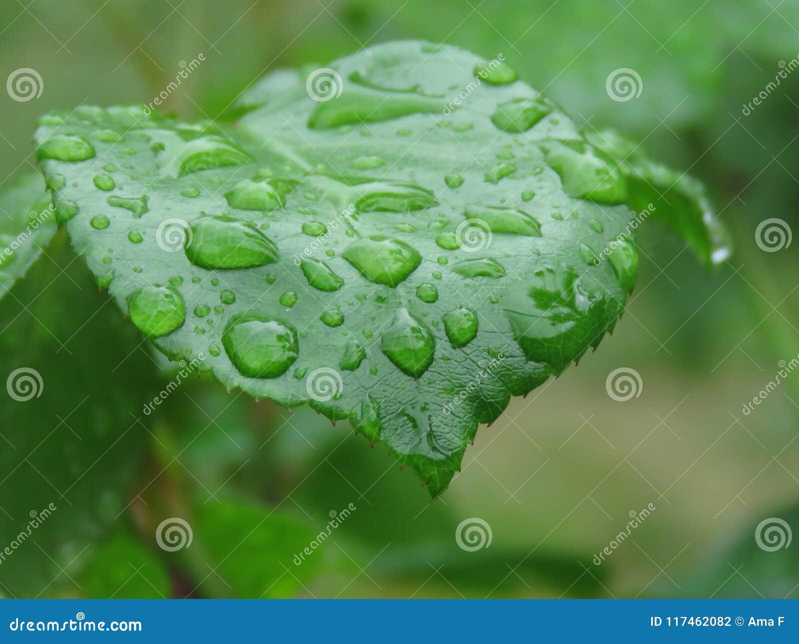 Molhe gotas na folha verde após a chuva